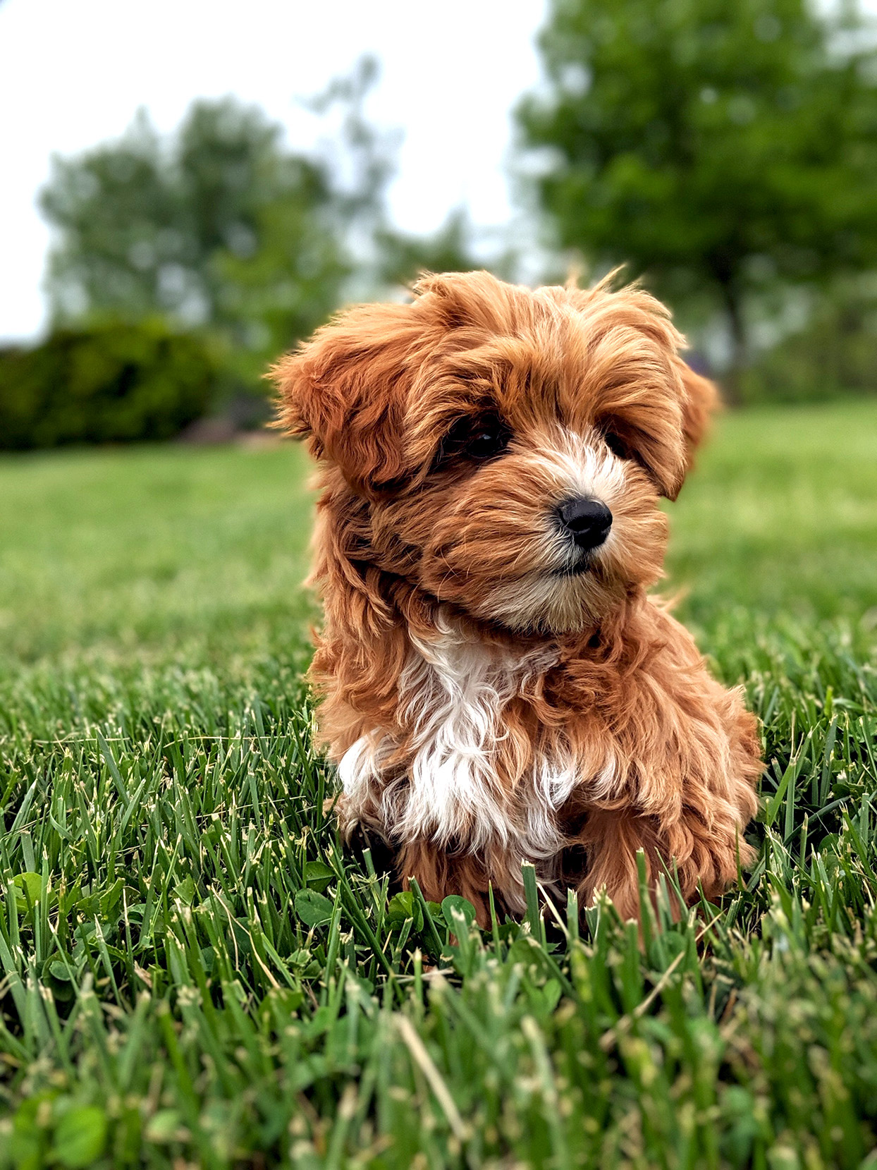 Red-haired yorkiepoo puppy sits in grass