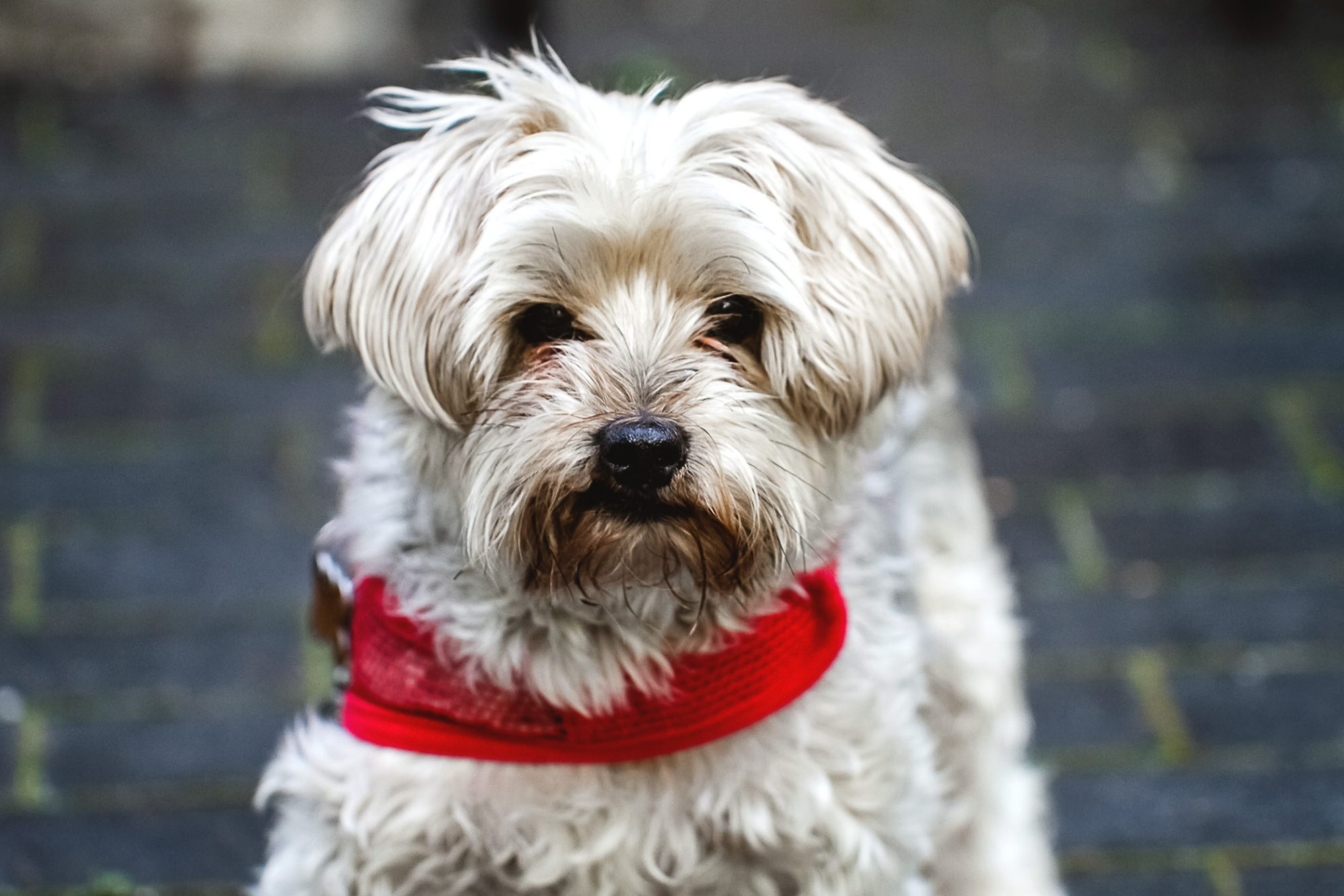 White yorkiepoo with red collar
