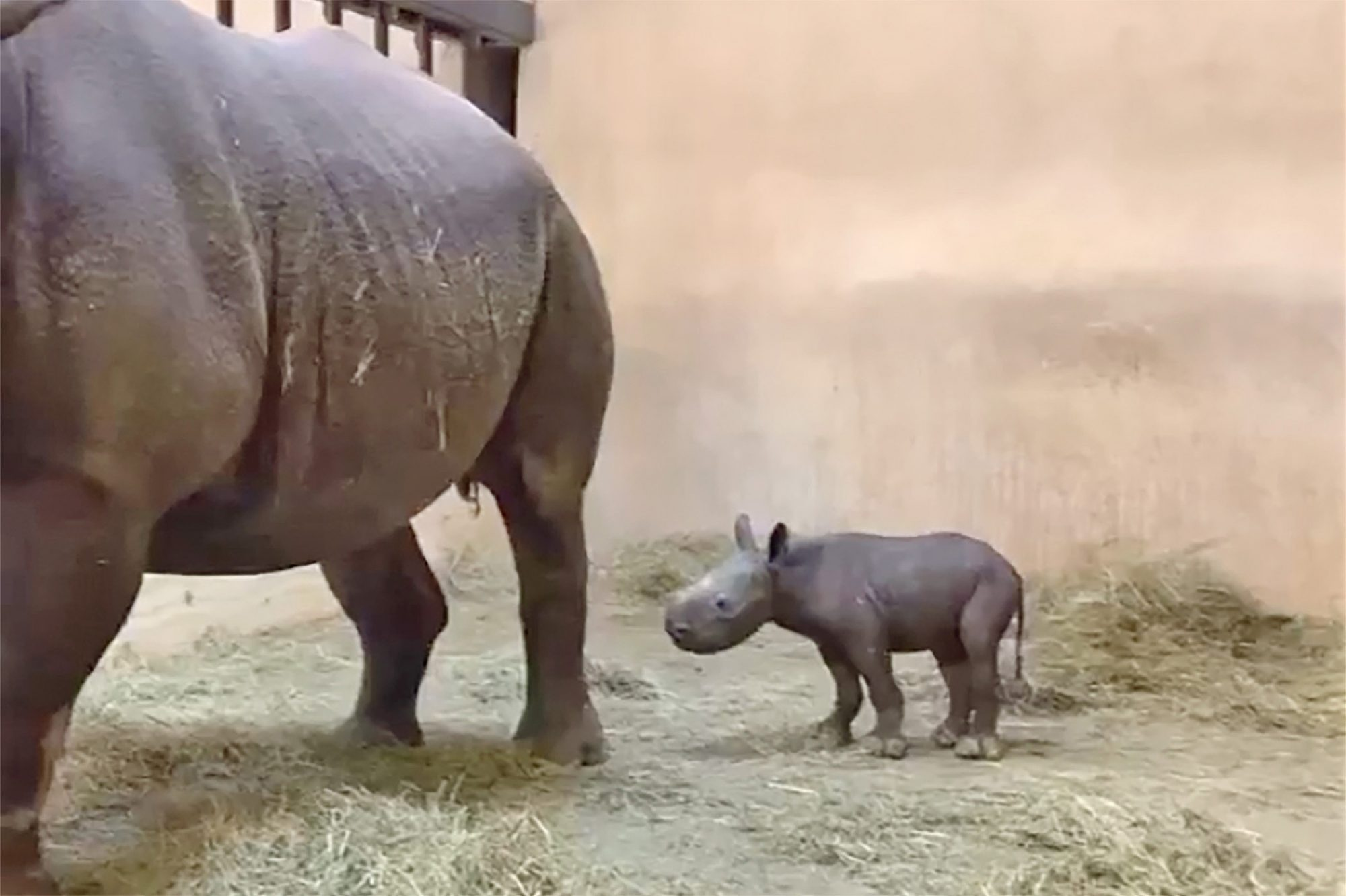 baby rhino with mother rhino