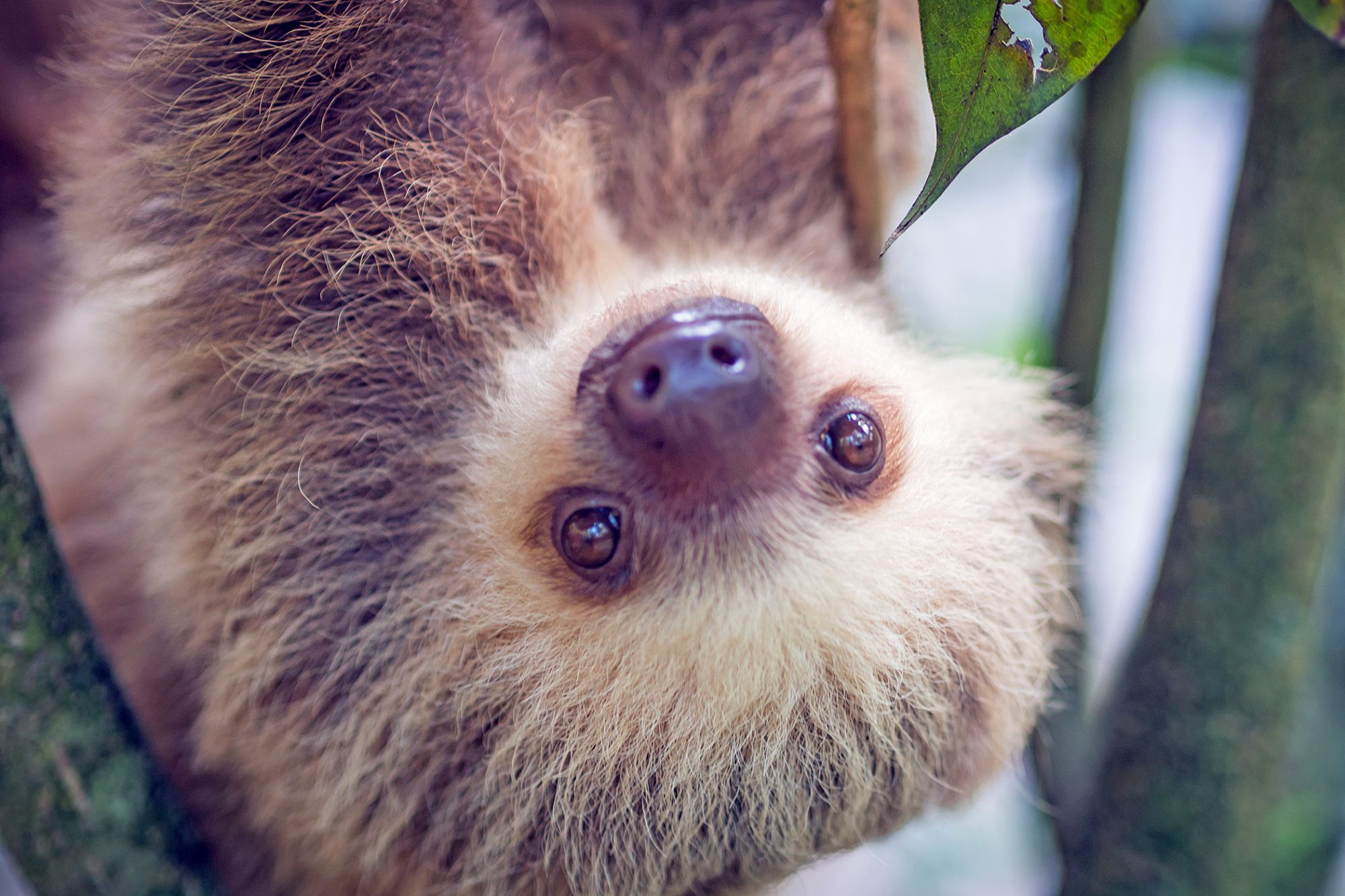 baby sloth hanging upside down