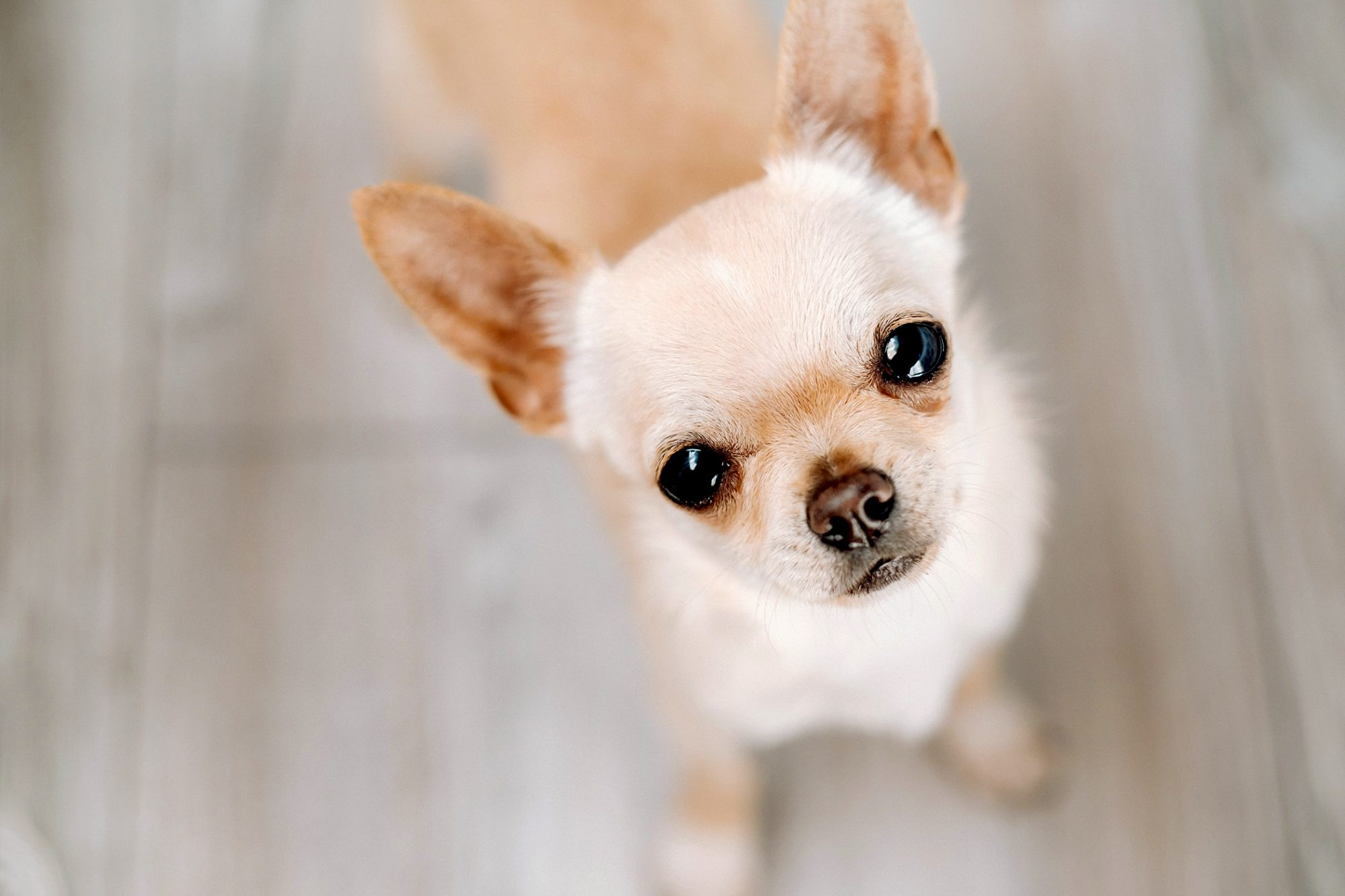 Little blonde chihuahua looks up at camera in focused portrait