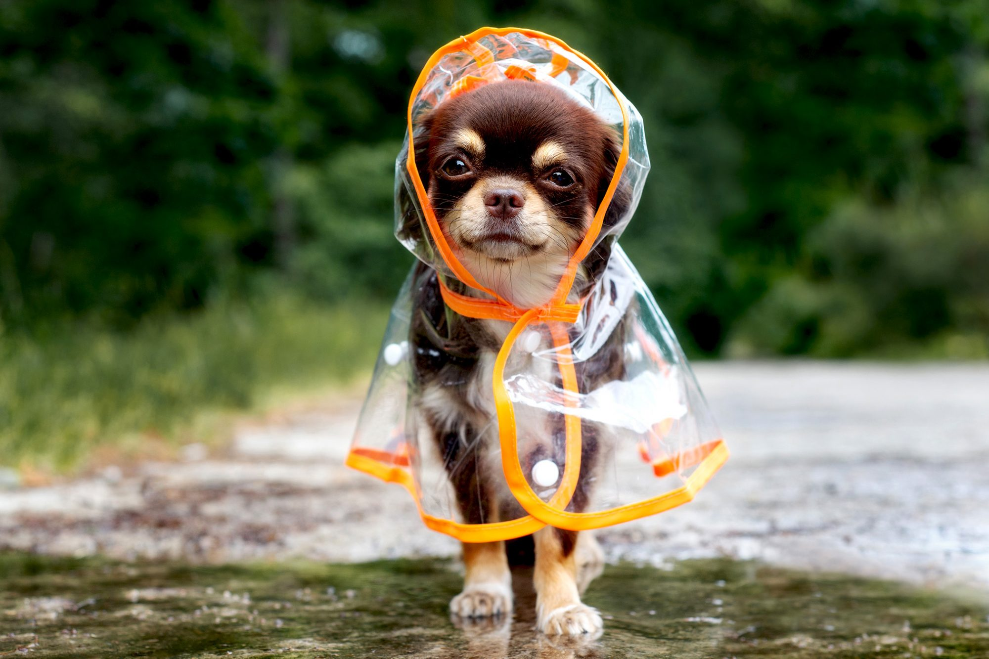 Brown and tan chihuahua wears clear and orange raincoat outside