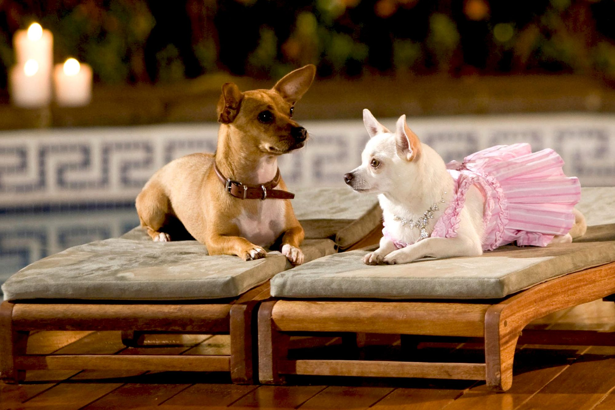 Brown chihuahua with brown leather collar lays next to white chihuahua who is wearing a pink dress