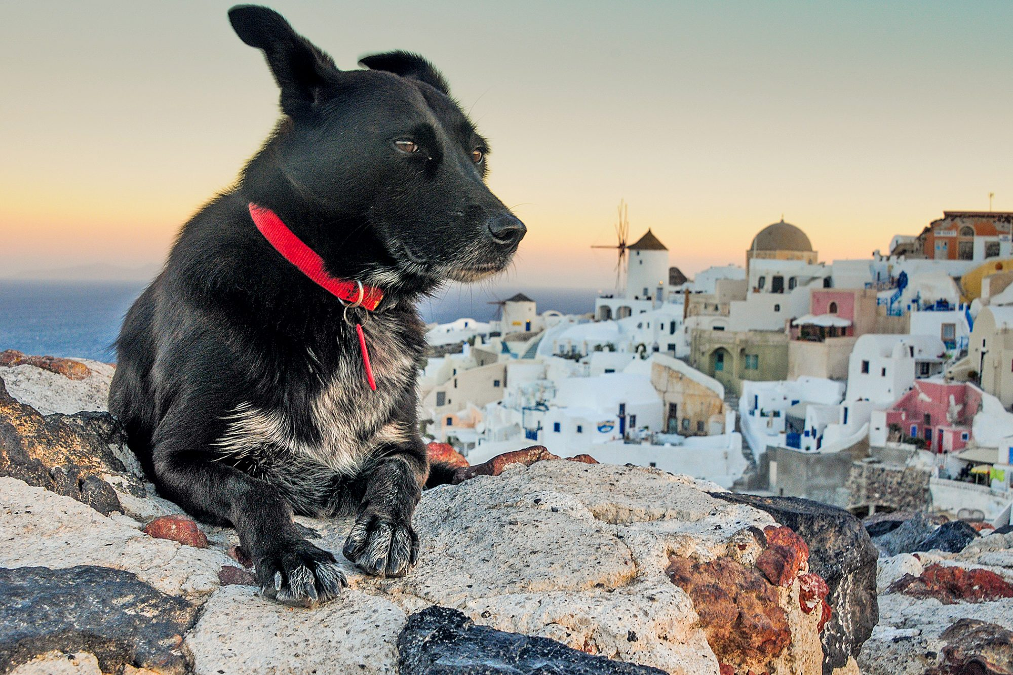 Black dog on a stone wall overlooking Oia and the sea