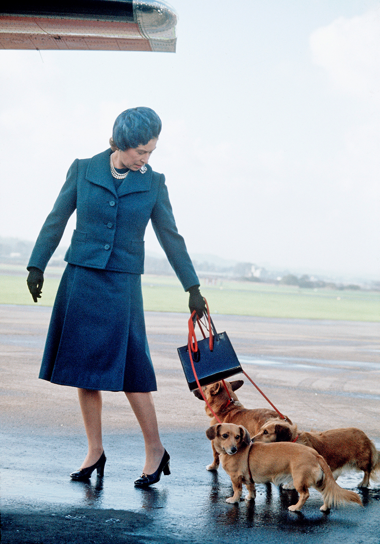 Color candid shot of queen elizabeth leading three dogs along on leash