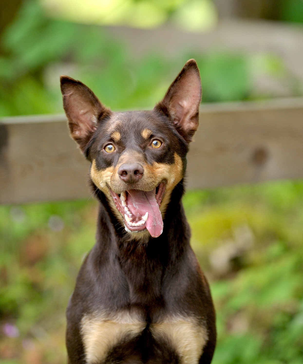 Outdoor portrait of chocolate Australian Kelpie sticking tongue out at camera
