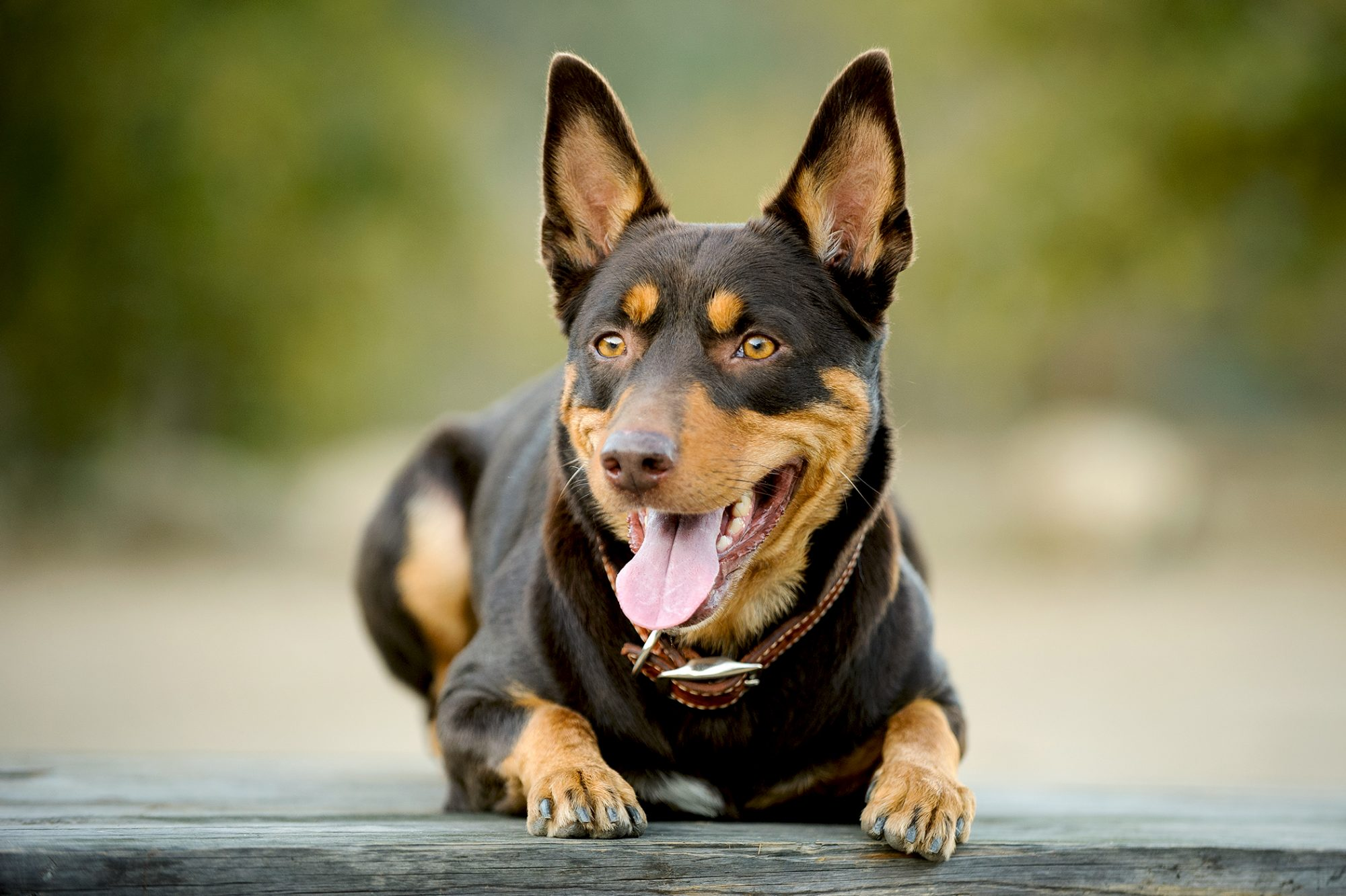 Black and tan Australian kelpie lays down with tongue sticking out