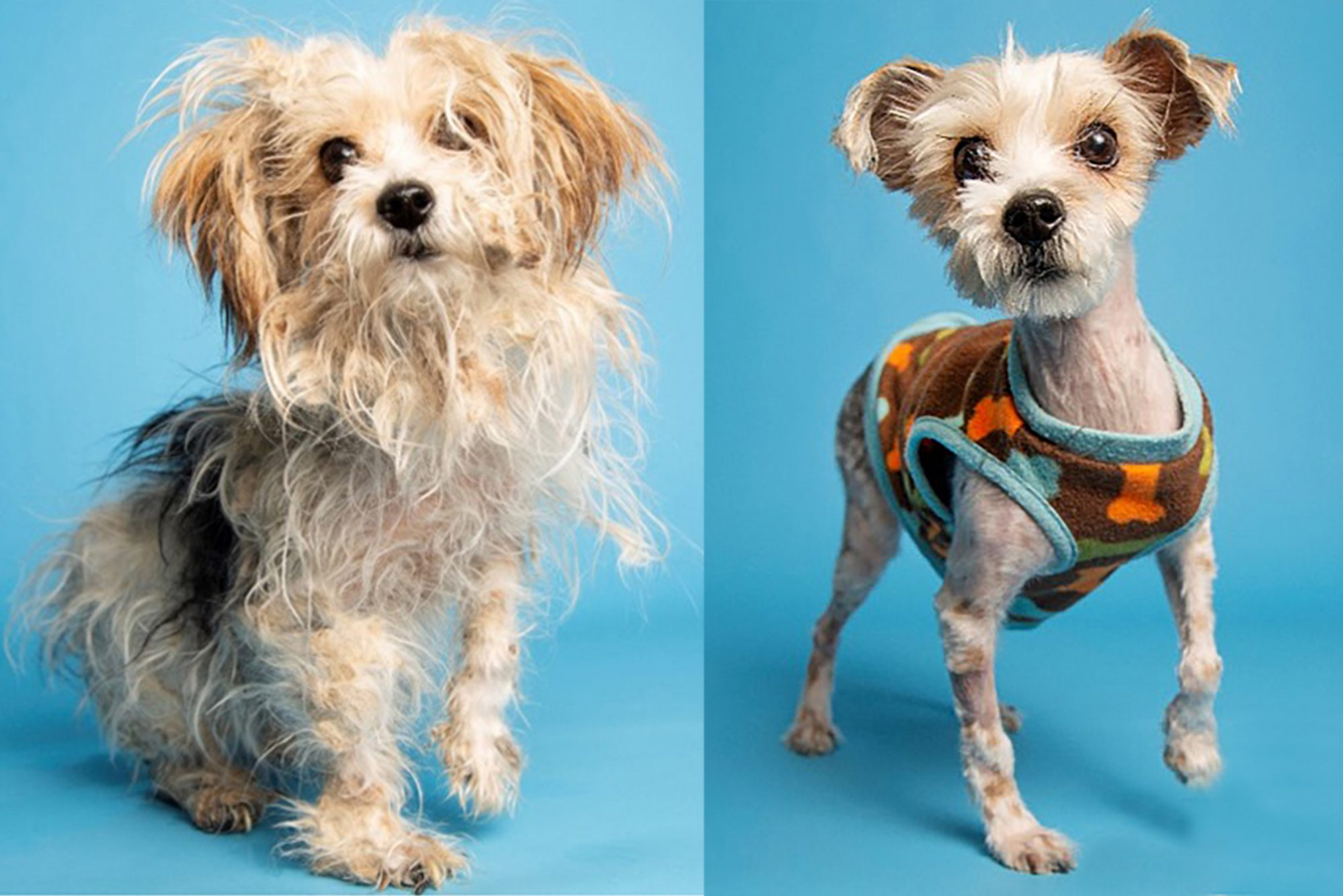 before and after shots of matted Shih Tzu