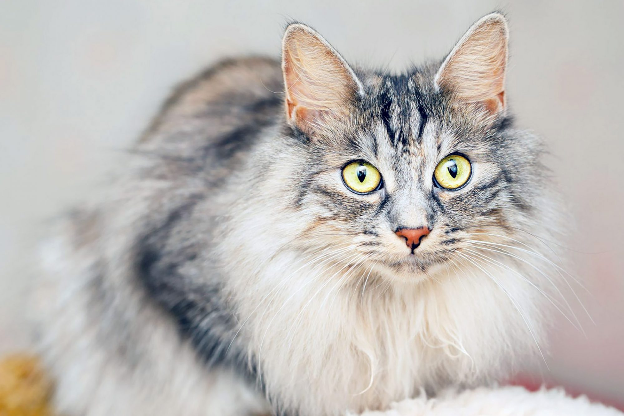 Portrait of Japanese Bobtail with yellow eyes