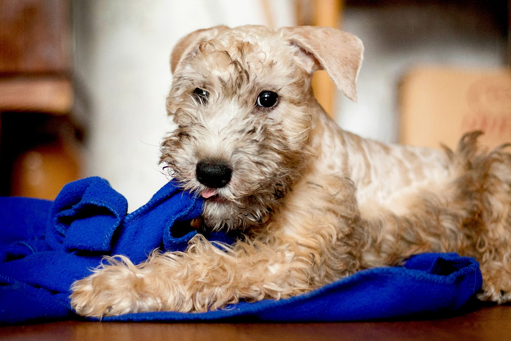 Soft-coated wheaten terrier puppy plays with blue blanket
