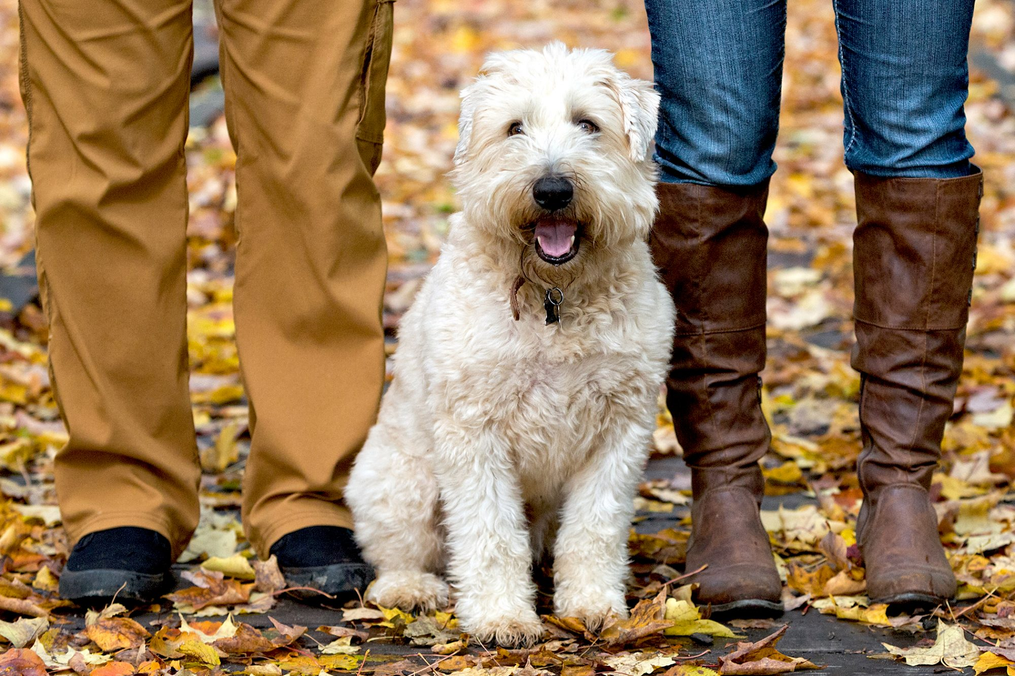Blonde soft-coated wheaten terrier sits between two humans