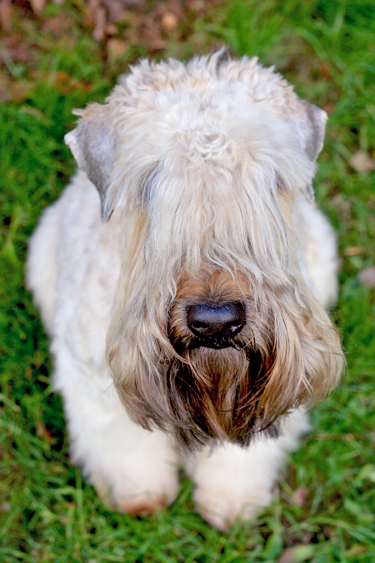 Close-up of soft-coated wheaten terrier with eyes covered in fur