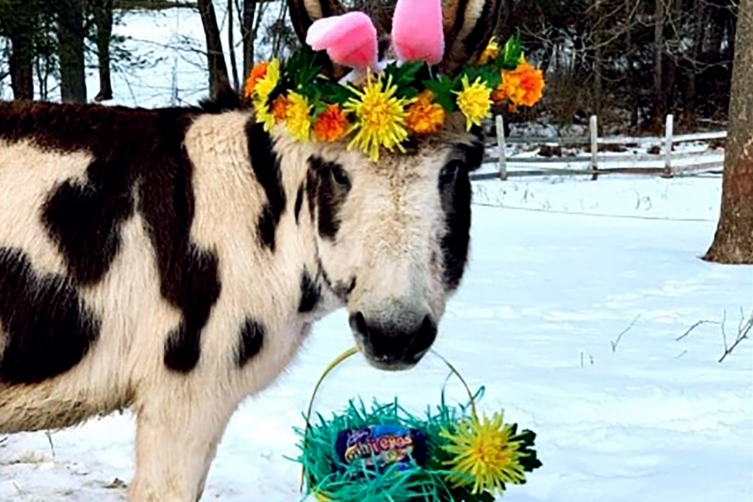 Cow with flower crown holds Easter basket in mouth with Cadbury egs in basket