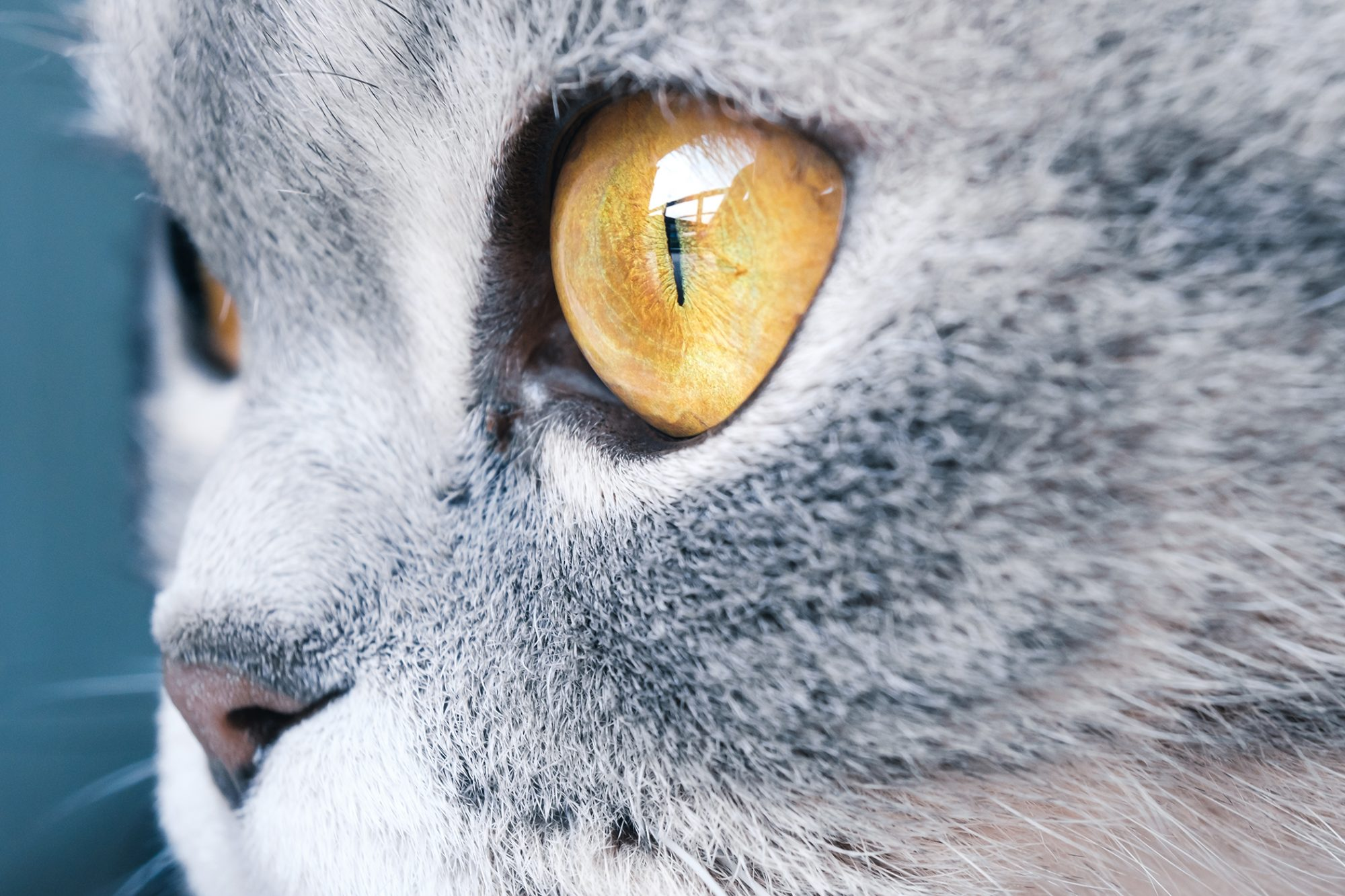 close up of a scottish fold cat's gold eye