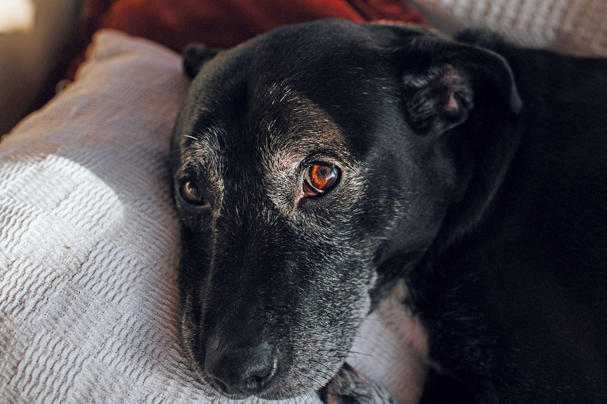 Close up of senior black dog laying on a pillow