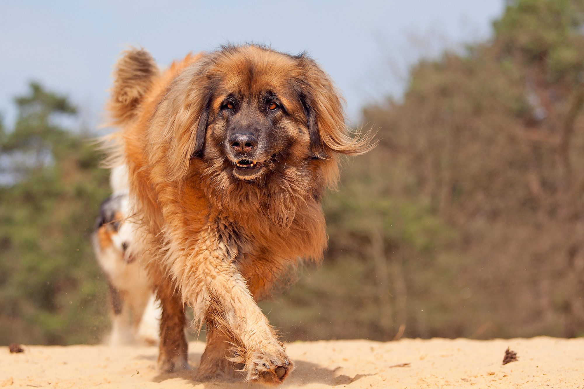 Leonberger dog walks across and
