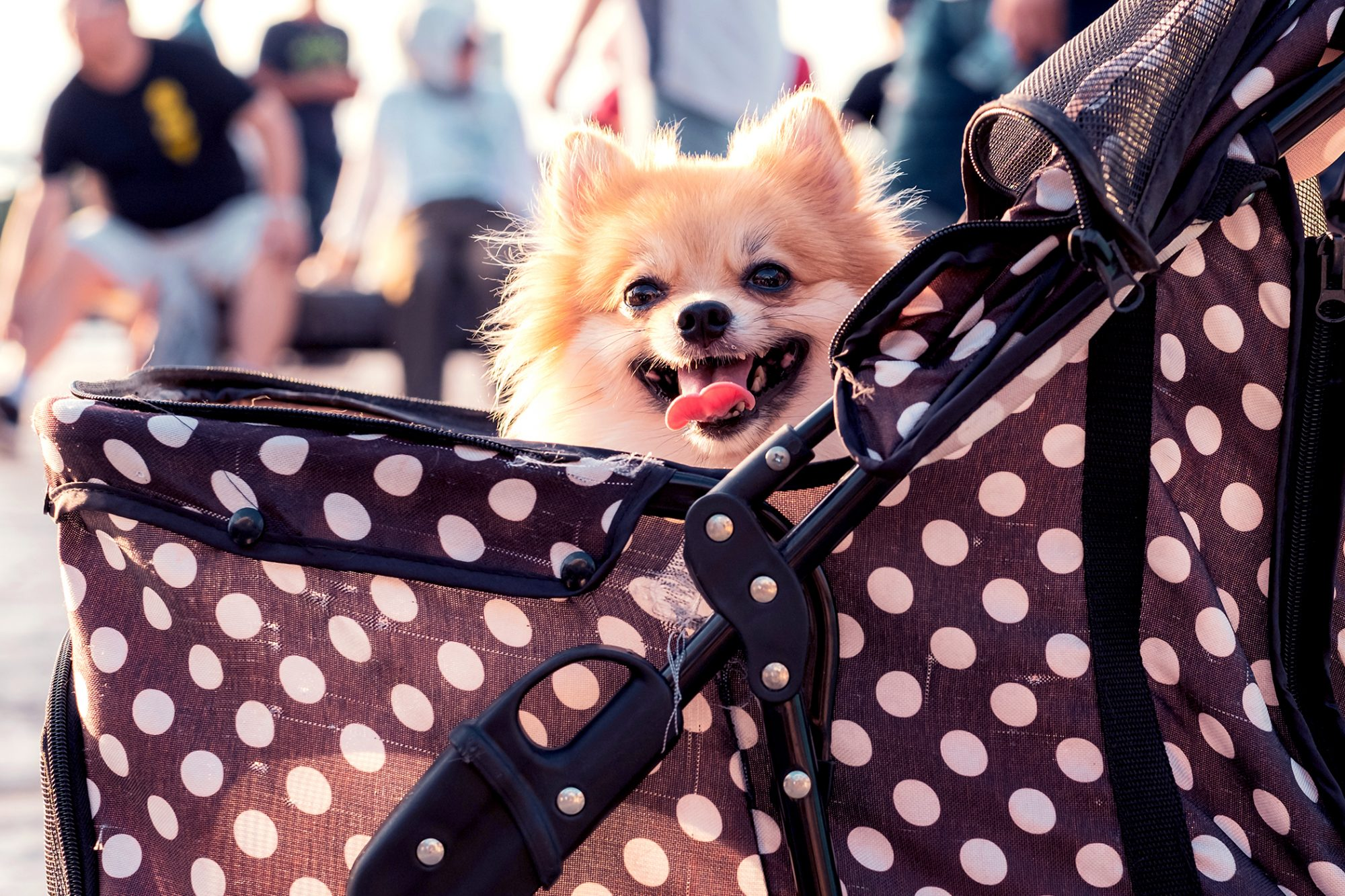 Blonde pomeranian sticks head out of stroller with happy smile