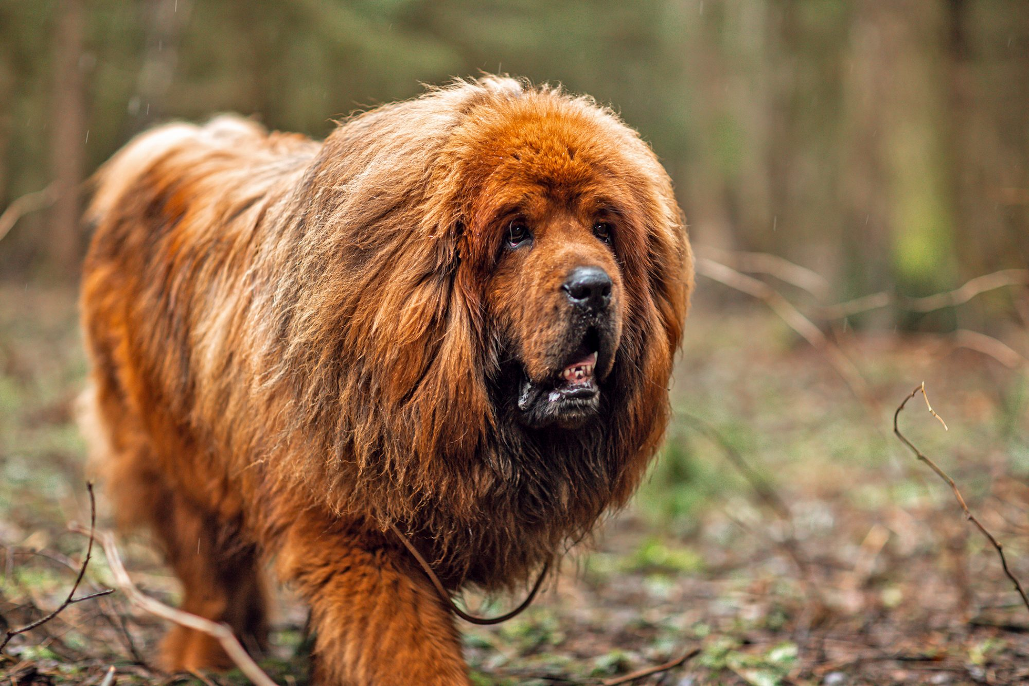 Red tibetan mastiff walks through brush