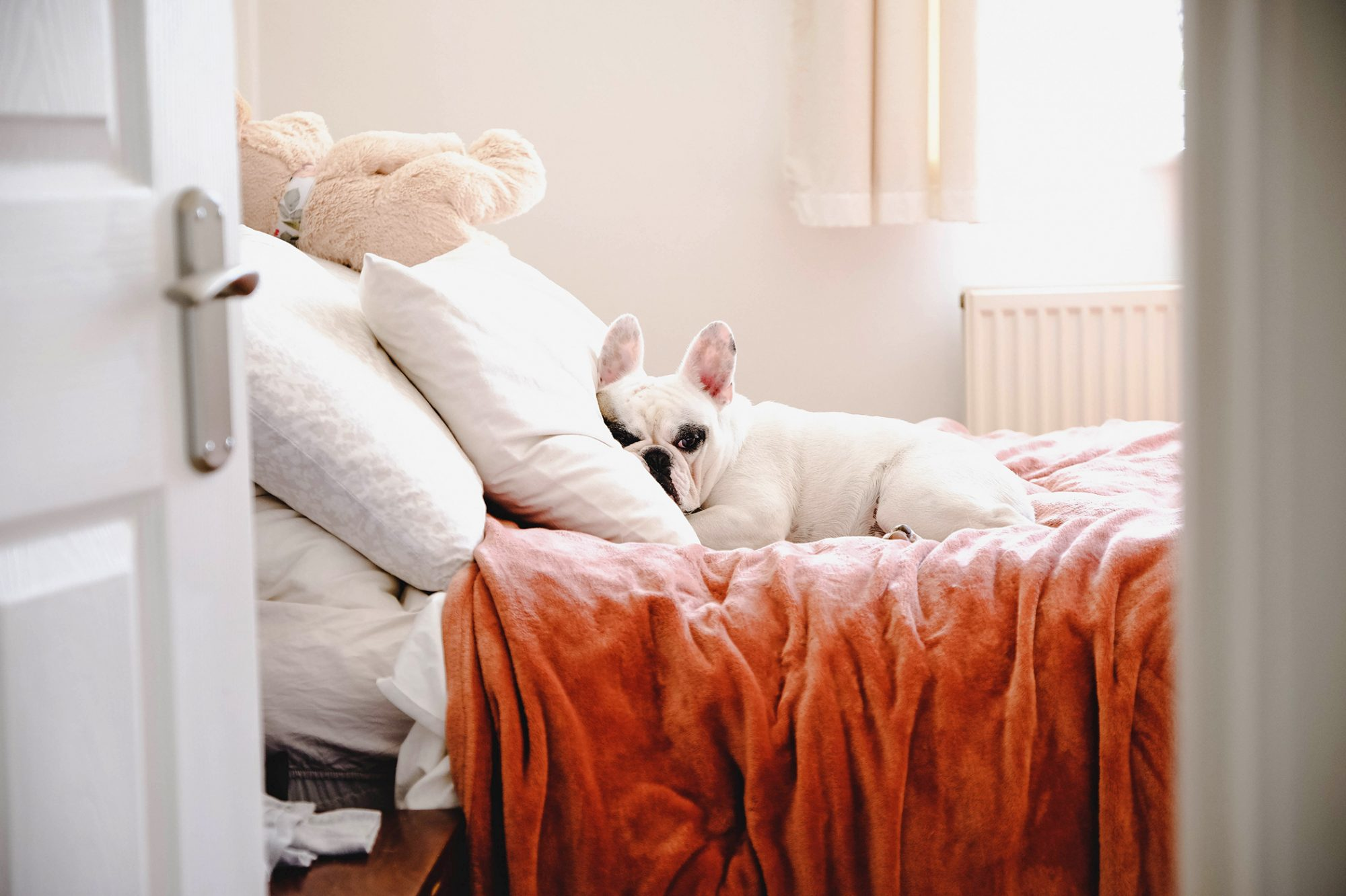 french bulldog laying on a cozy bed