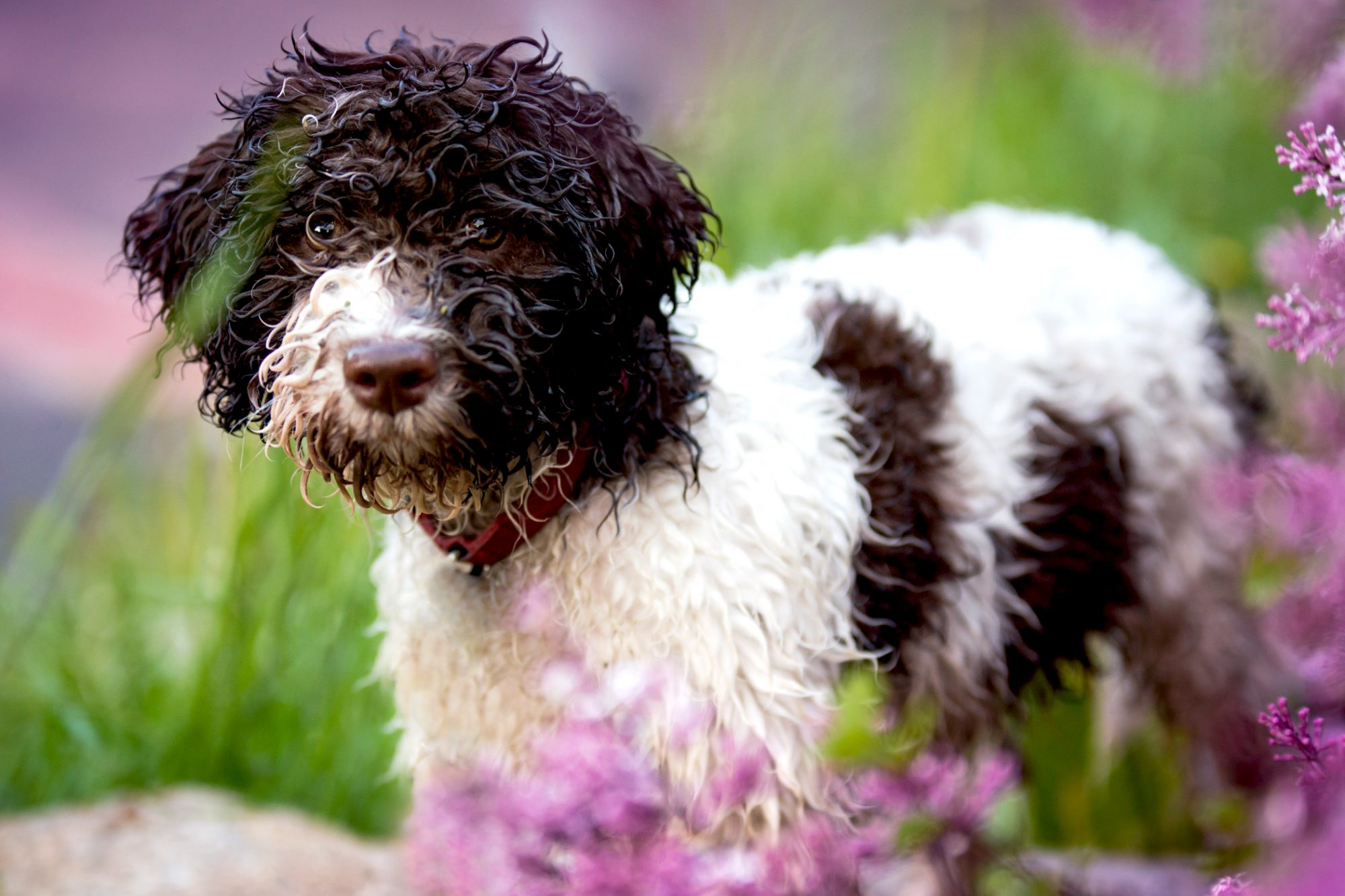 Lagotto Romagnolo standing by purple flowers