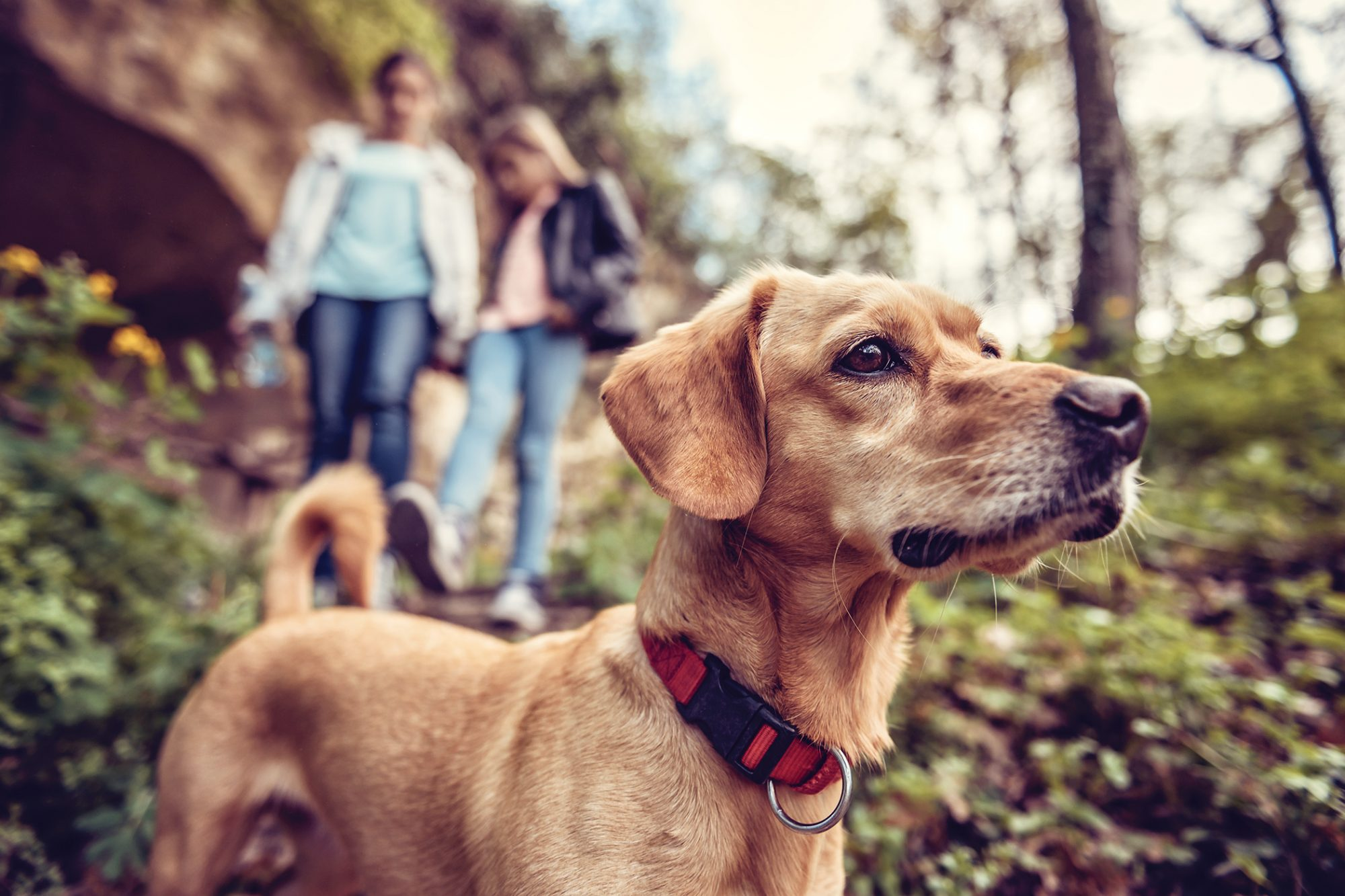 Dog looks off into distance on forest trail, two girls walk behind dog in background