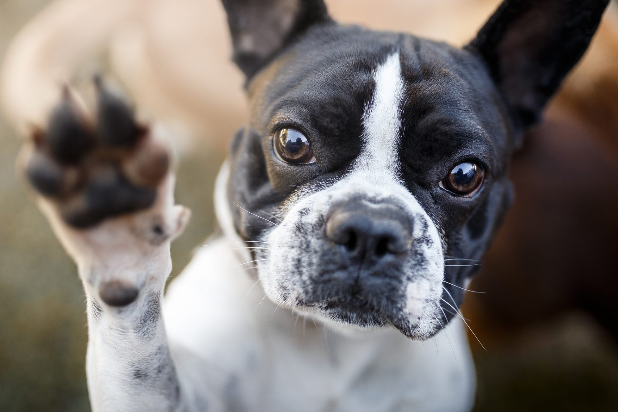 French Bulldog Becomes Second Most Popular Dog Breed in the U.S. | Daily  Paws