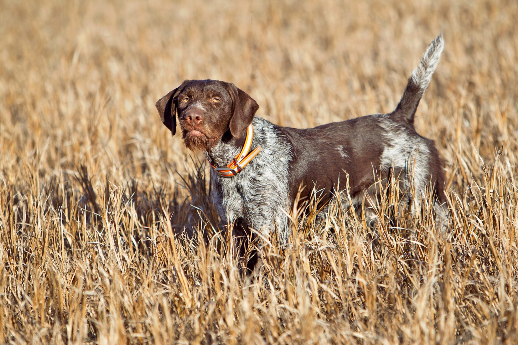 Brown and white pointer in golden field:
