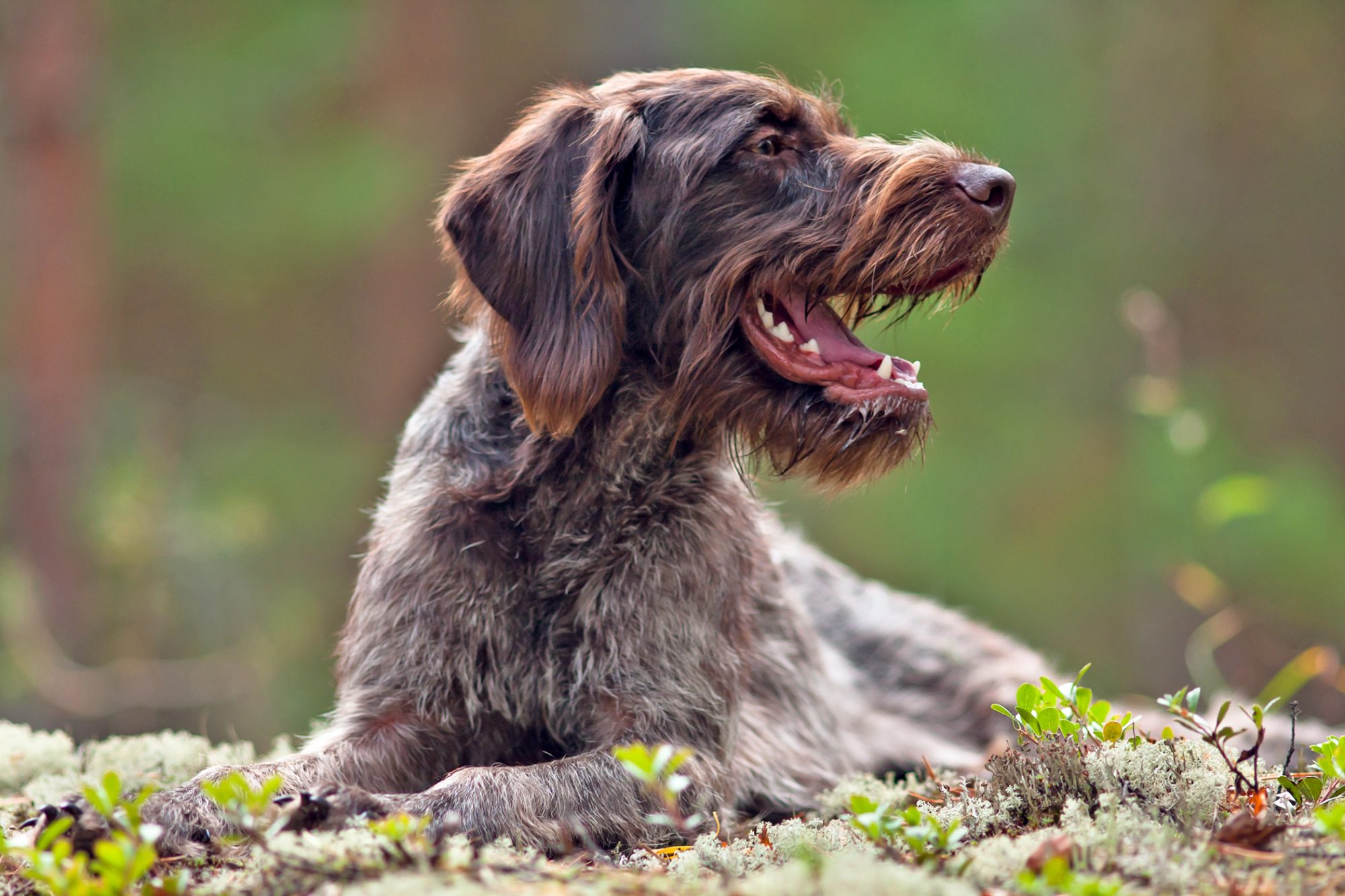 Brown german wirehaired pointer laying on ground outside