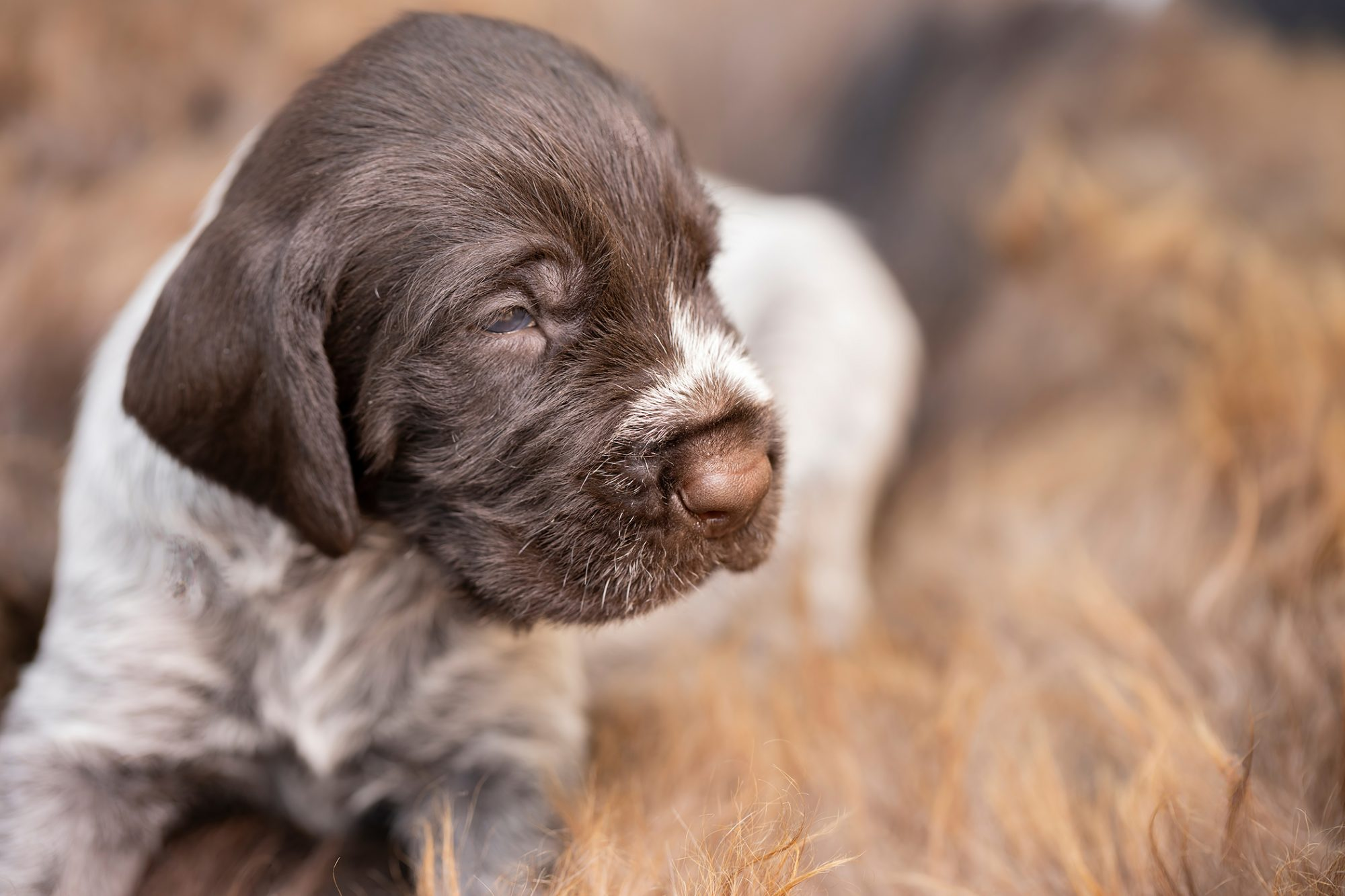 German wirehaired pointer puppy, brown and white