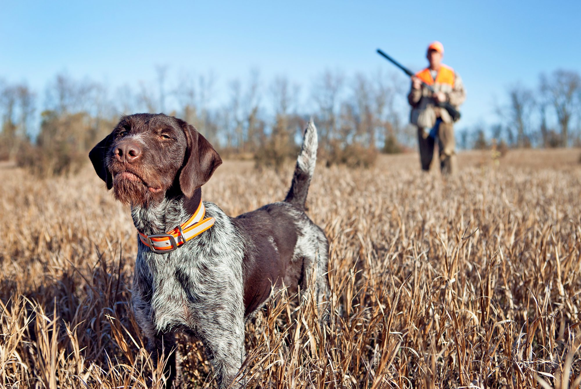 Man upland hunting with a german wire haired pointer.
