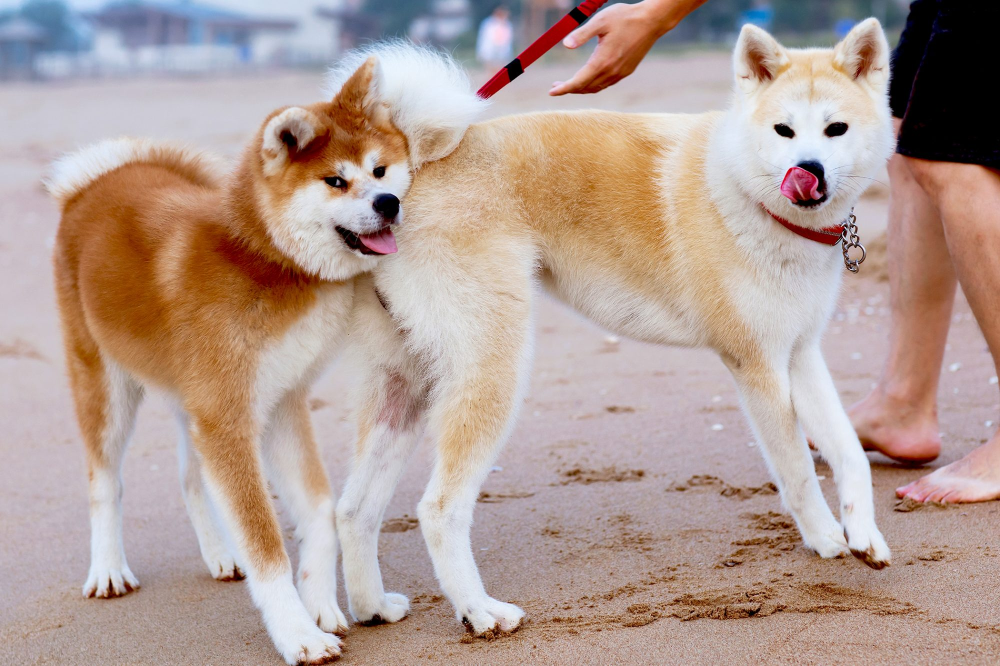 Blond and red shiba inus stand on sandy beach