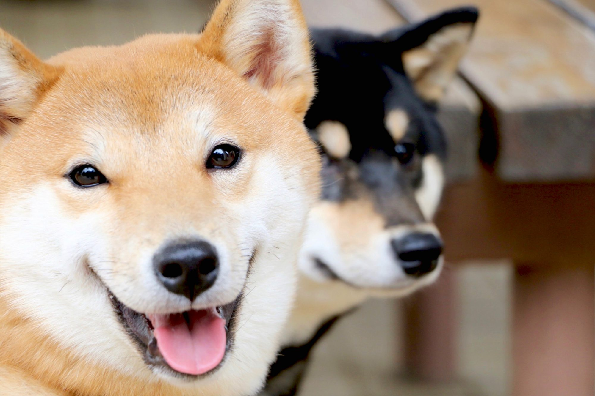 Blonde and black and tan shiba inu stand next to each other in close-up photo