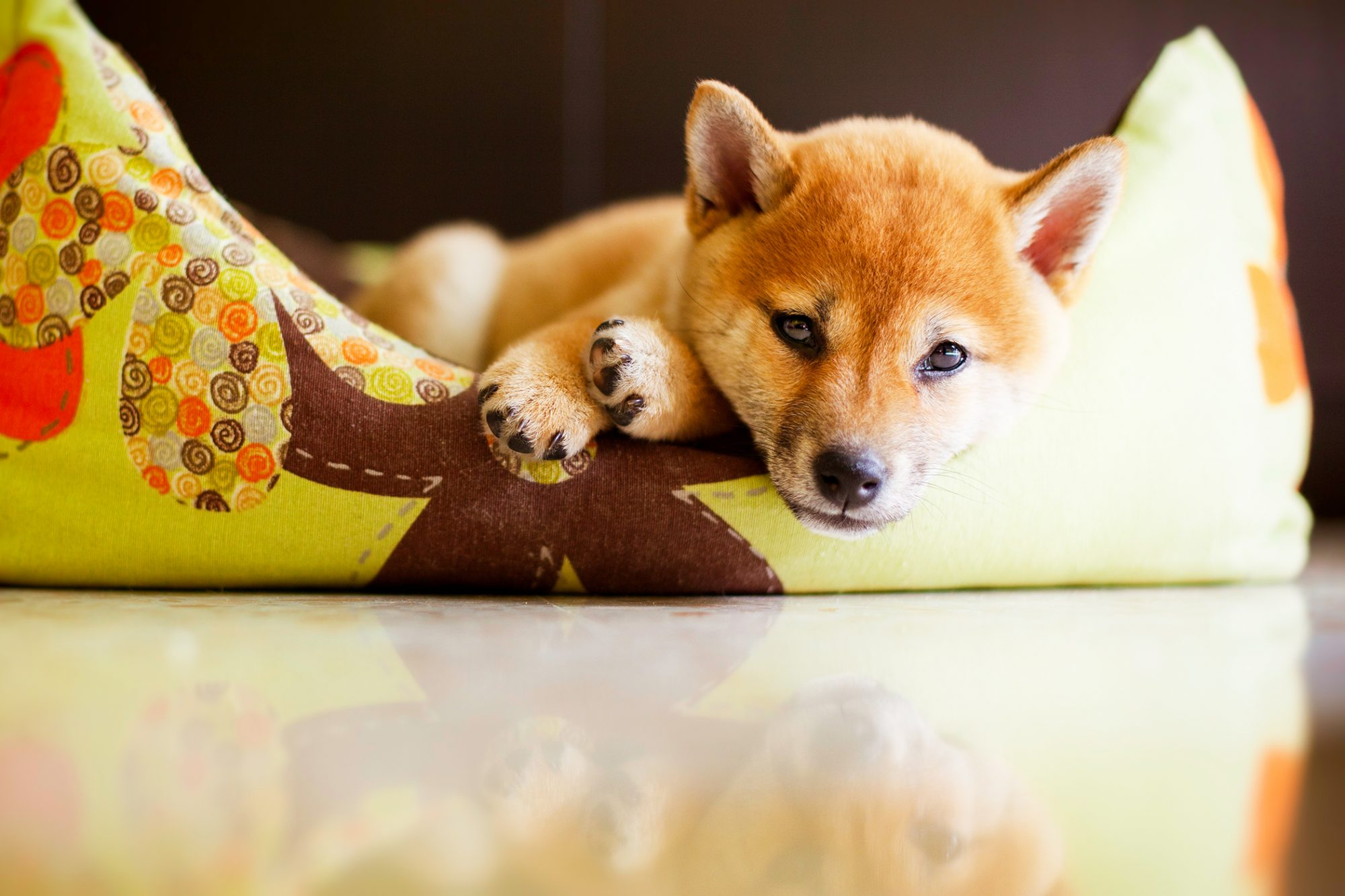 Shiba Inu puppy laying in a dog bed