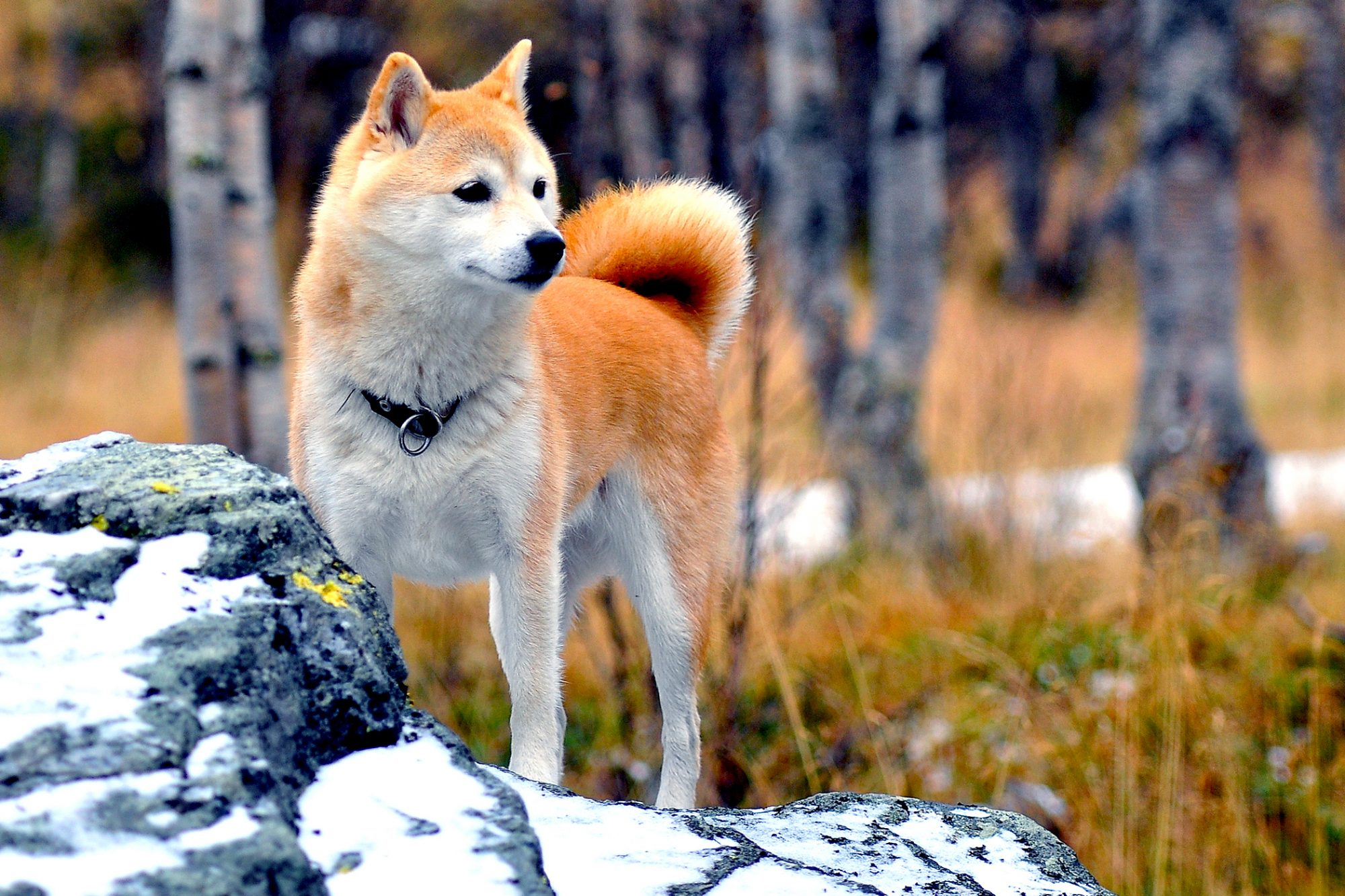 Red and white shiba inu stands on snowy rock