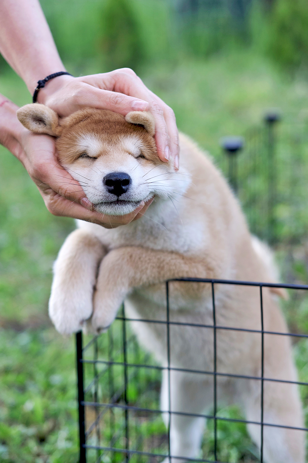 Strawberry blonde shiba inu gets petted on head by adult while in pen