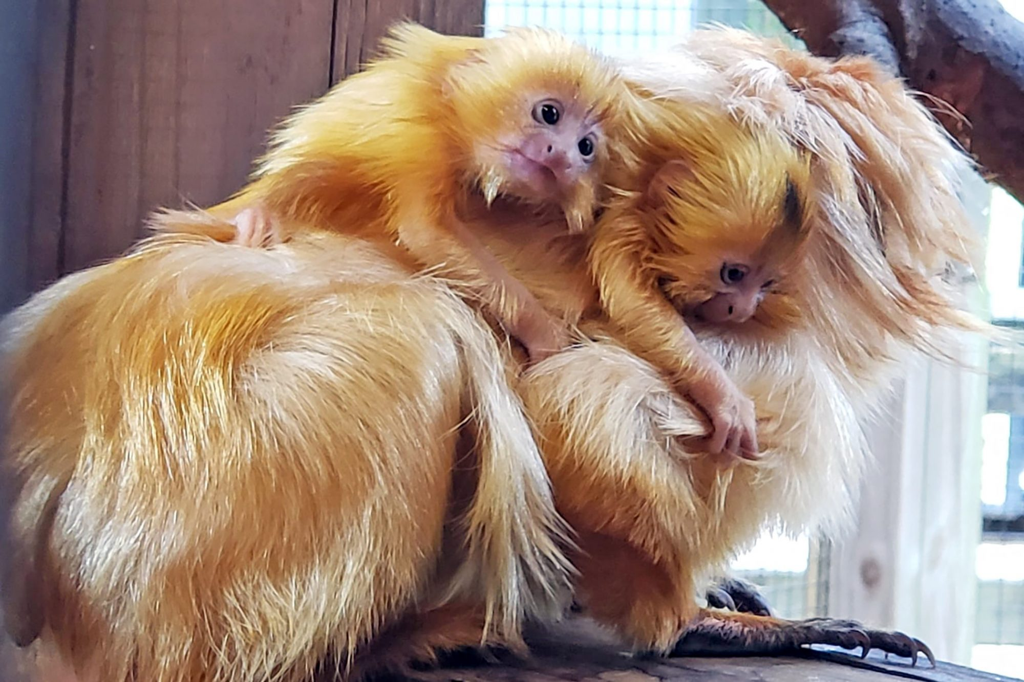 Baby golden Tamarin twins on mama's back