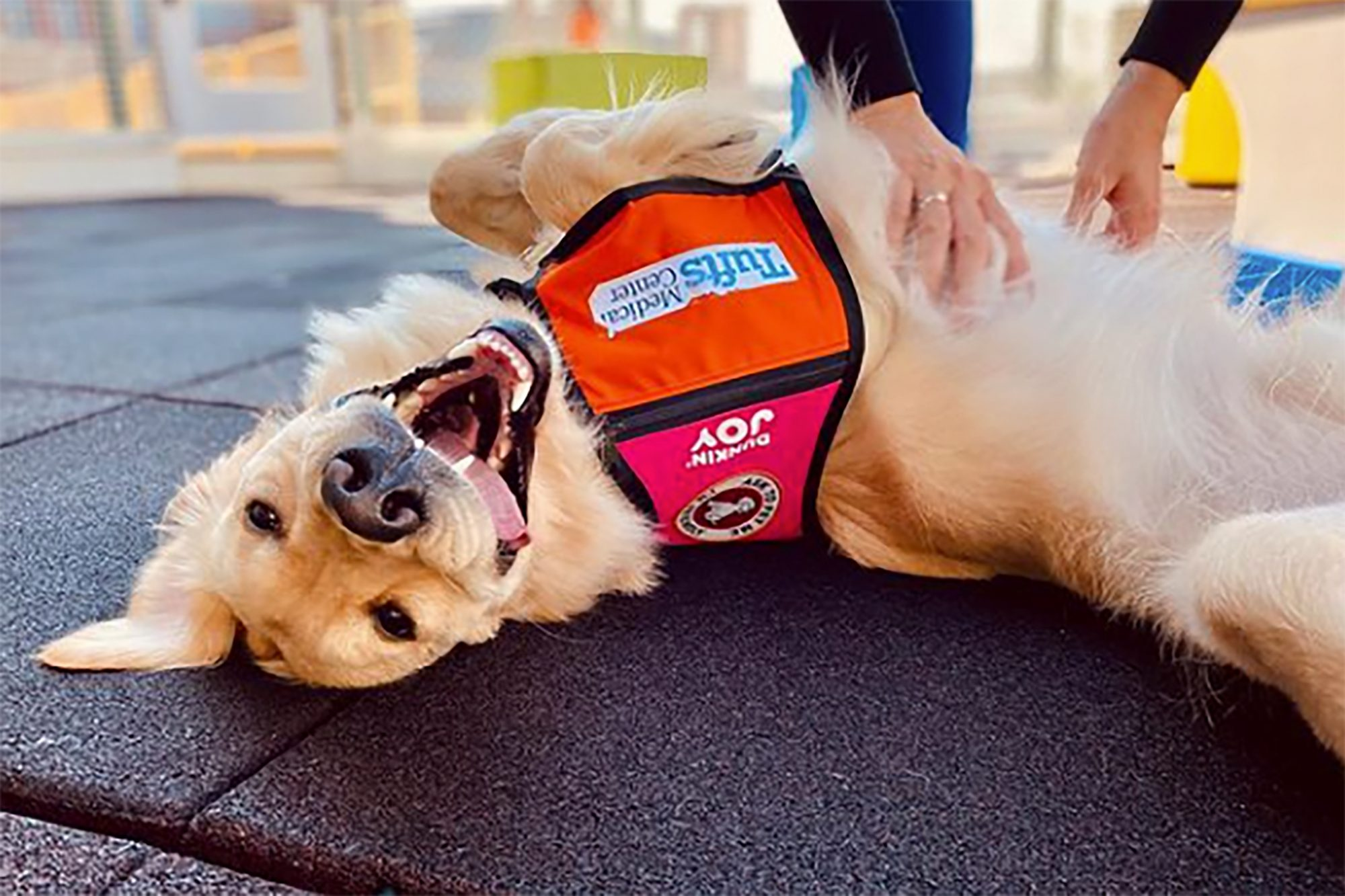 Bob, the Tufts Children's Hospital service dog laying on his back, getting a belly rub