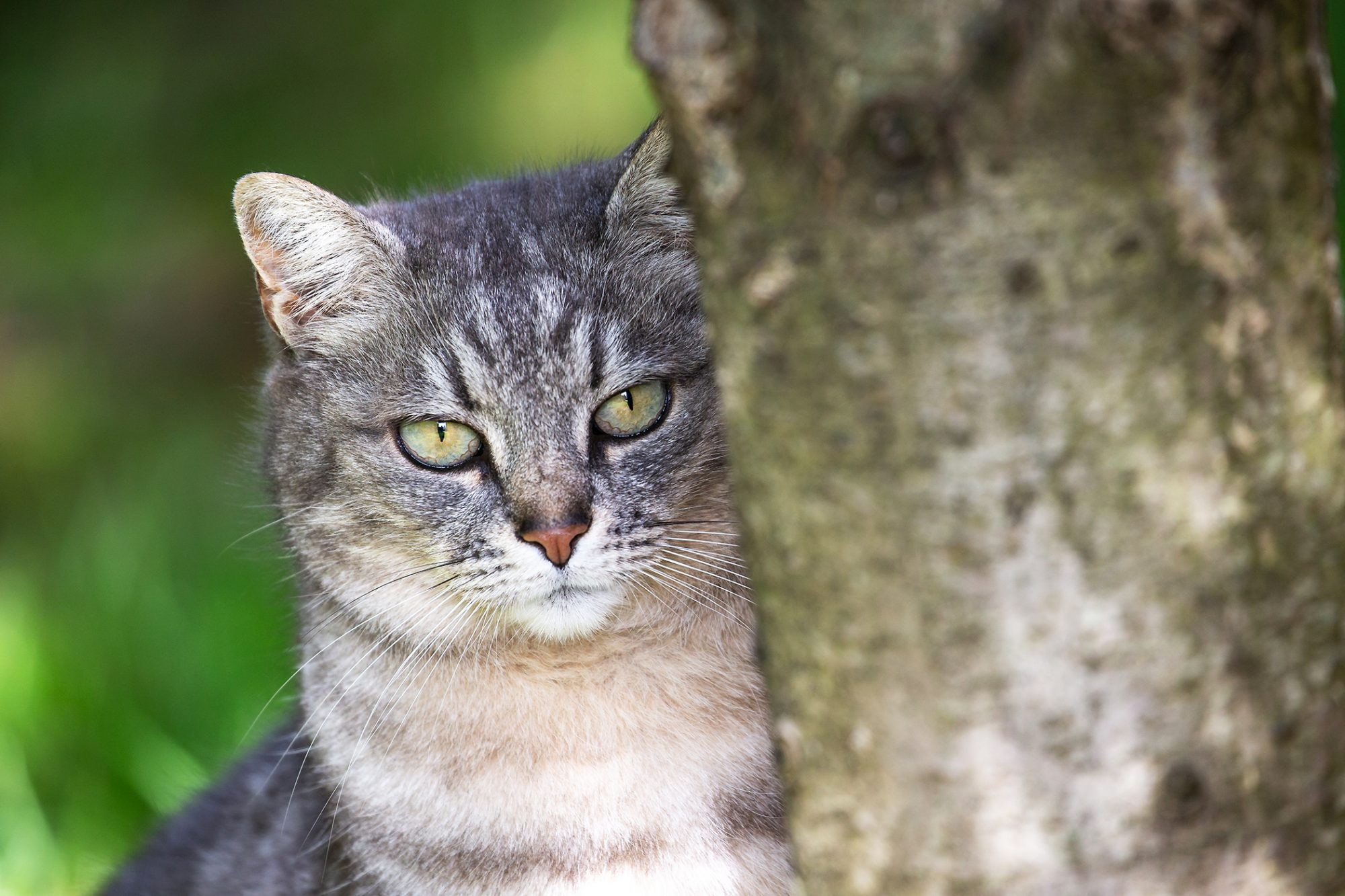 Grey striped cat sits behind tree trunk