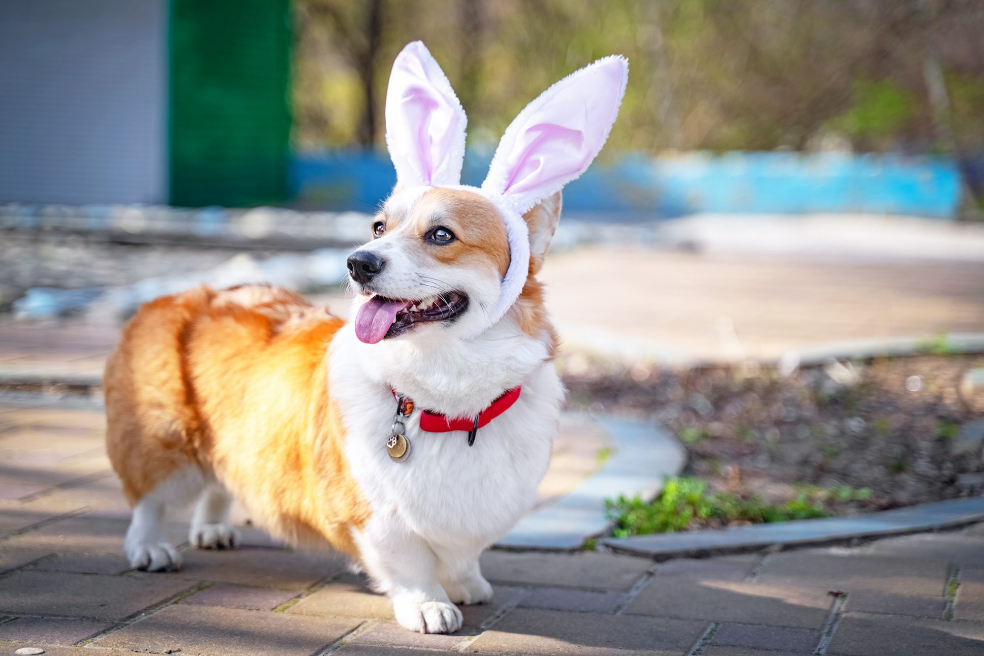 Picture of corgi dog wearing bunny ears outside