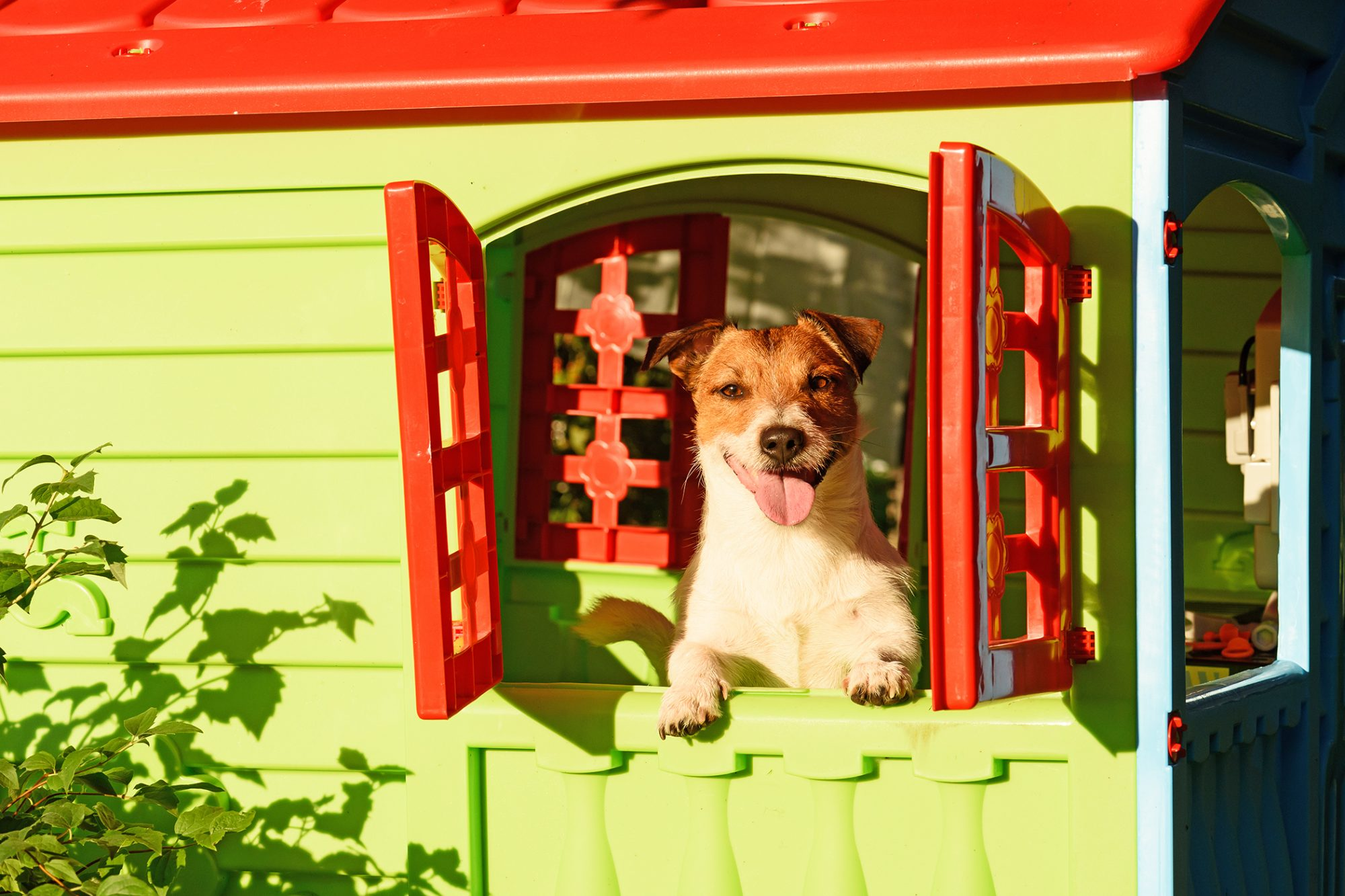 Happy terrier peeps out of an outdoor playhouse