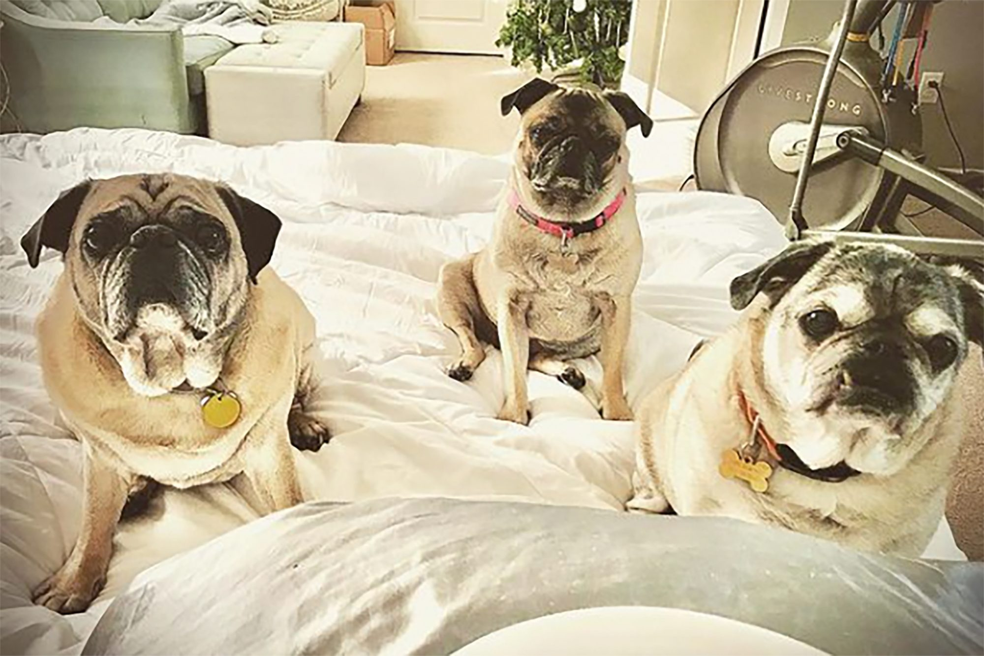 Three adult pugs look at camera while sitting on bed