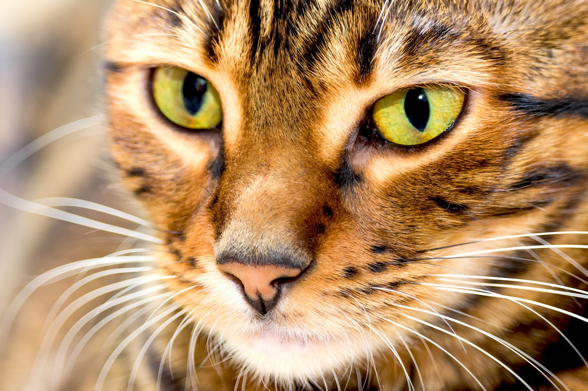 Toyer cat headshot close up