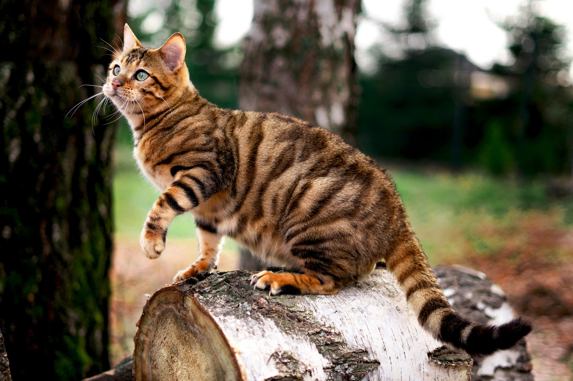 Toyer cat sits on cut down tree stump outside