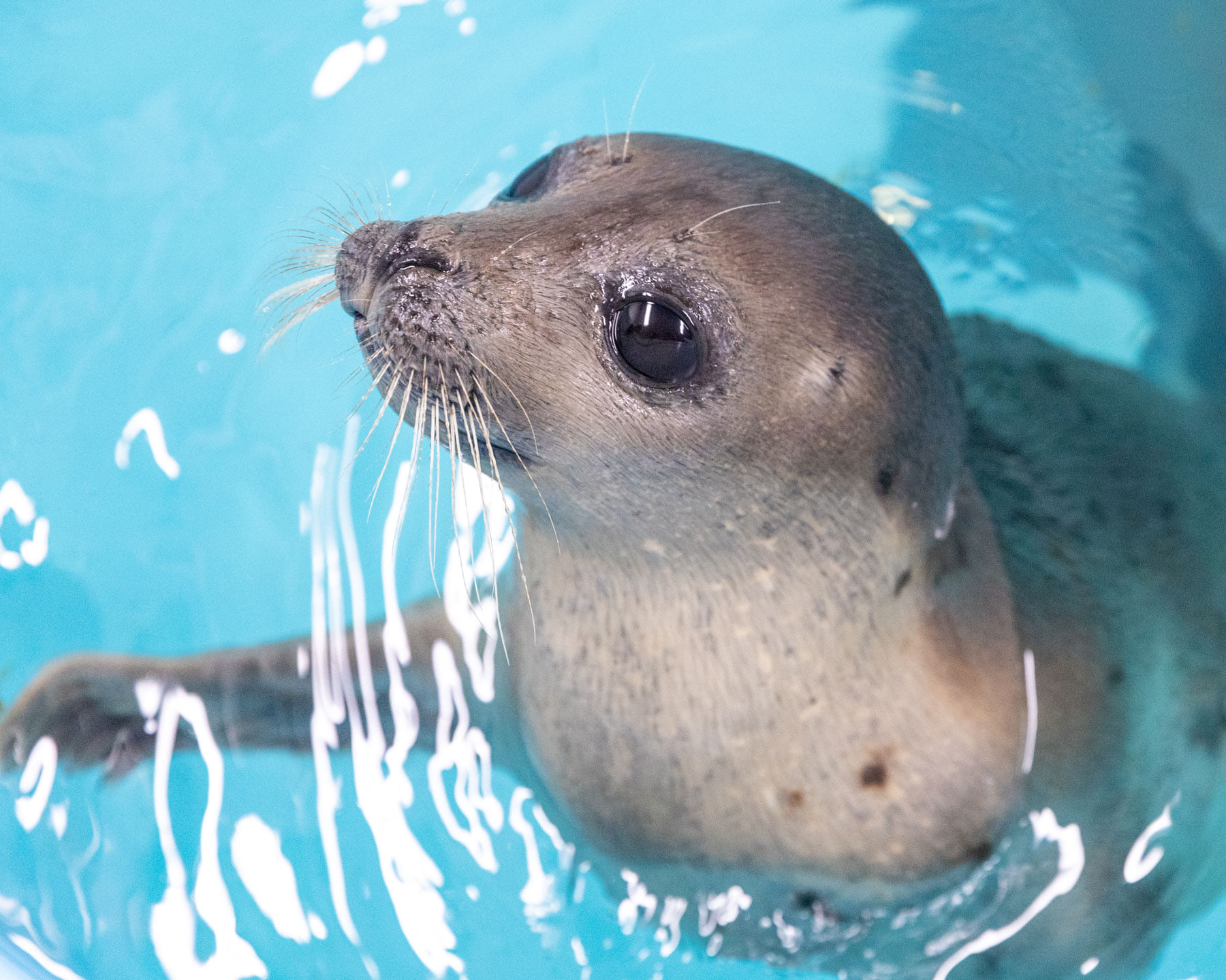 small seal looks up from water