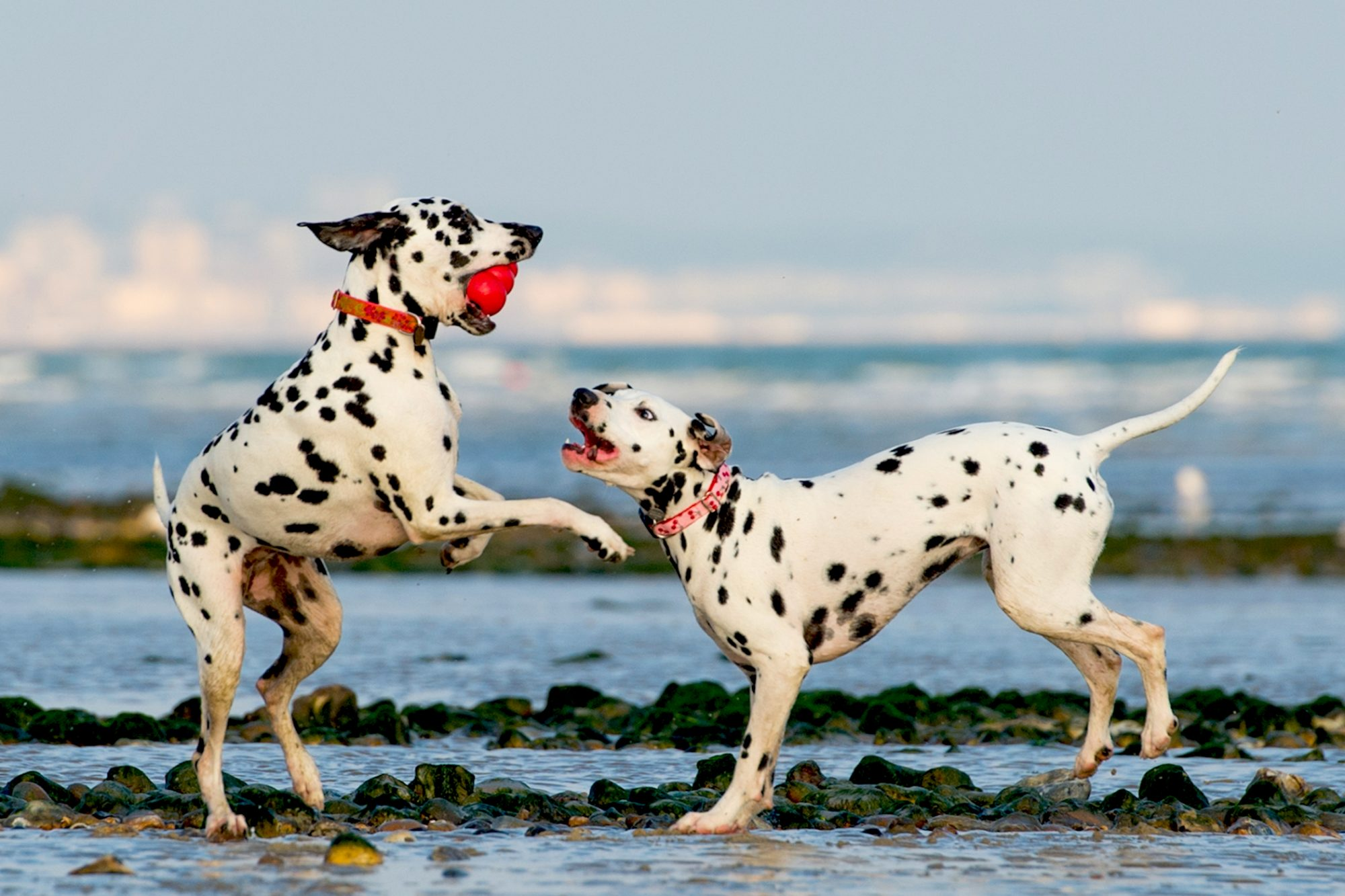 two Dalmatians playing on a rocky beach with a red toy