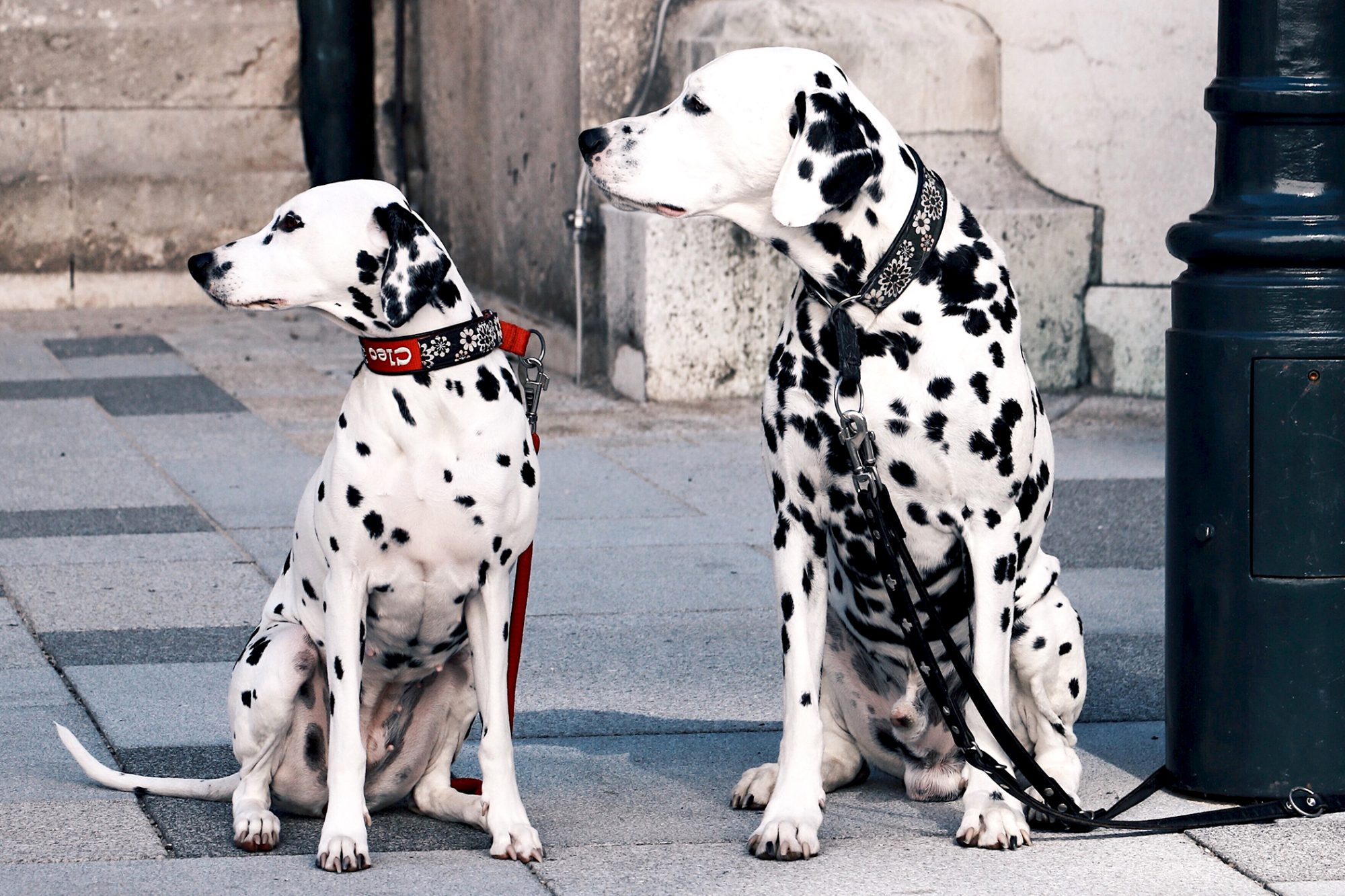 Two Dalmatians sitting next to a lamp post
