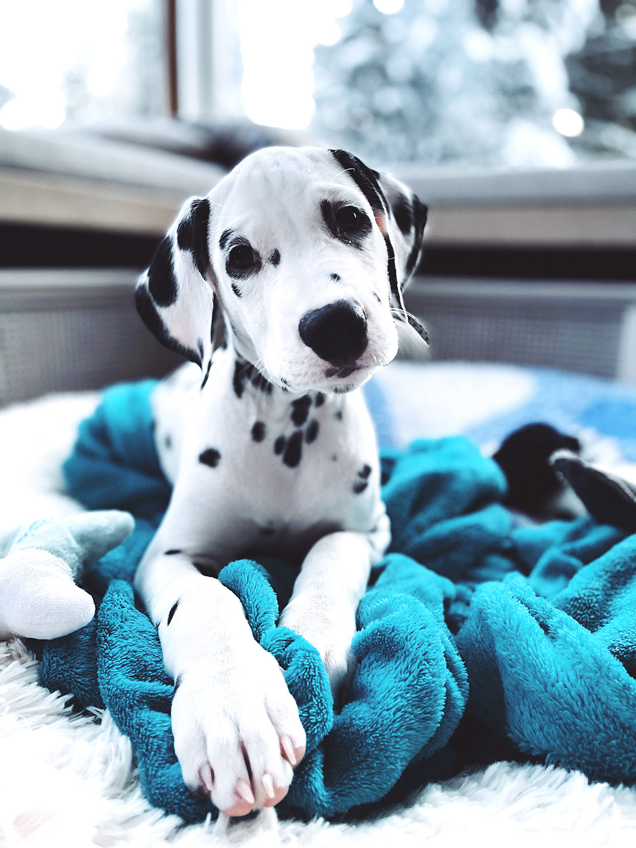 puppy laying with teal blanket