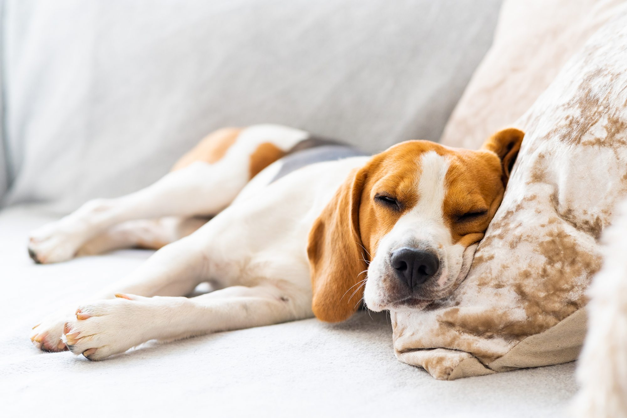 Sleepy beagle sleeps on tan pillow while laying on couch