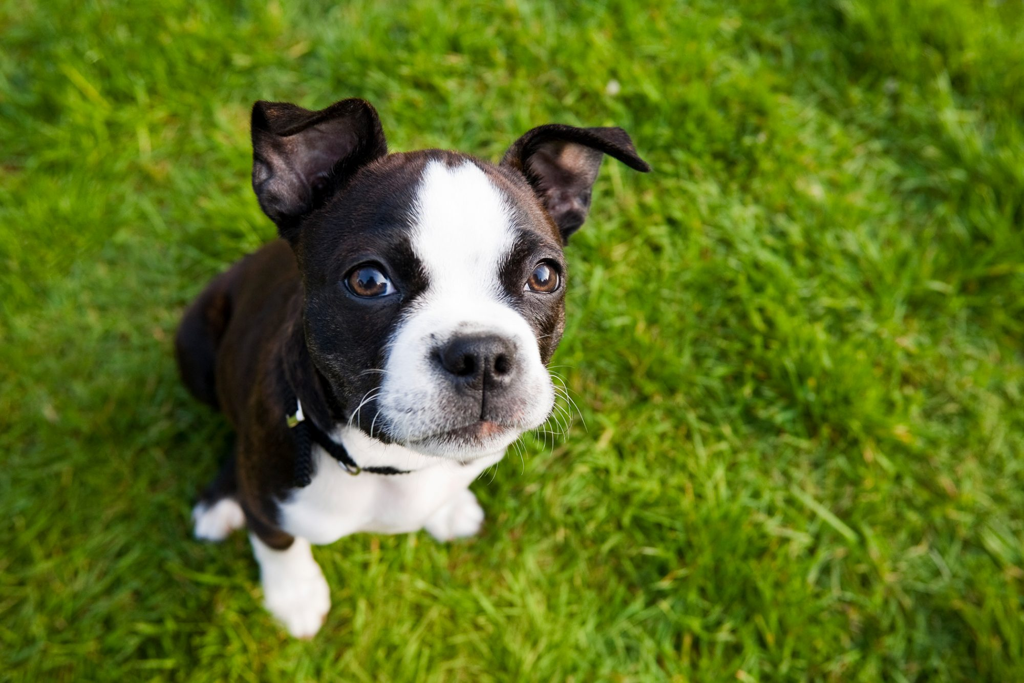 Boston Terrier puppy sitting in grass looking up at the camera