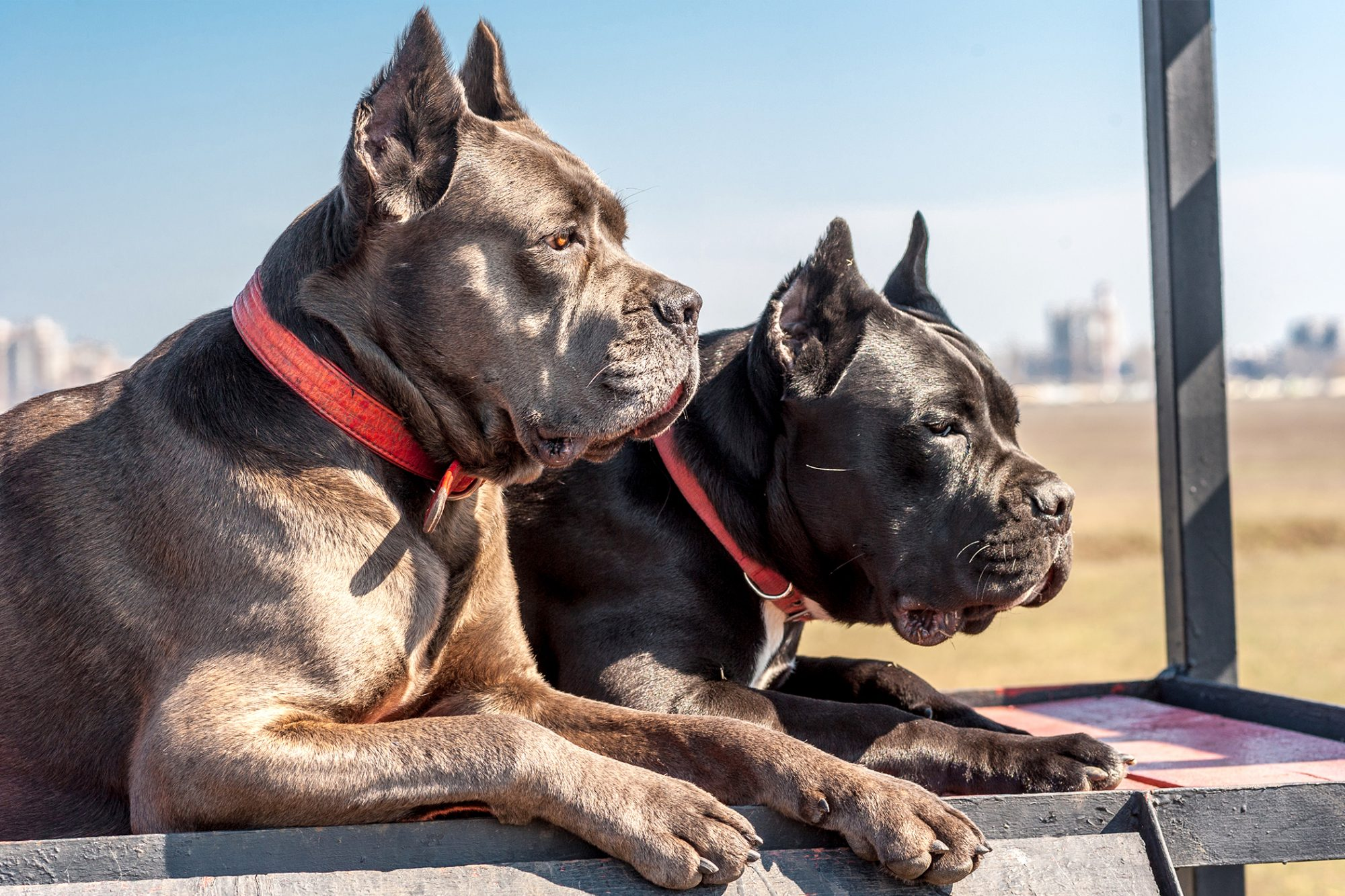 Two grey adult cane corsos lay down together outside